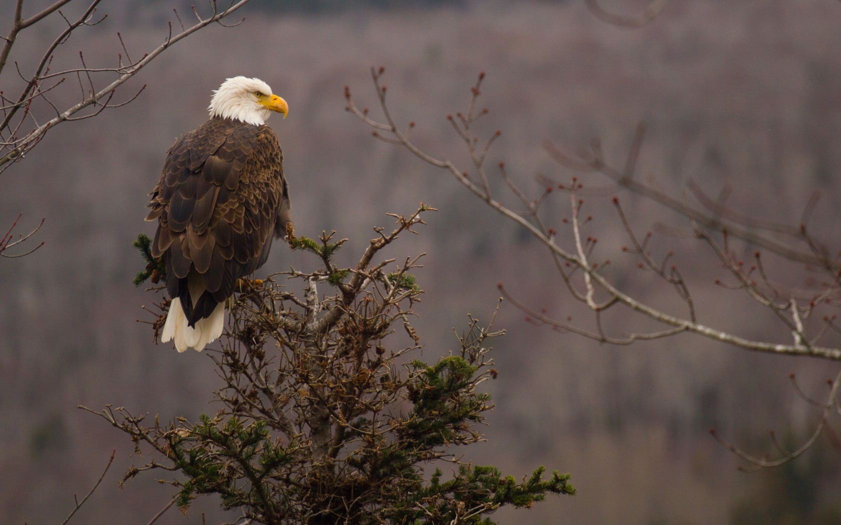Bald Eagle wallpaper 1680x1050