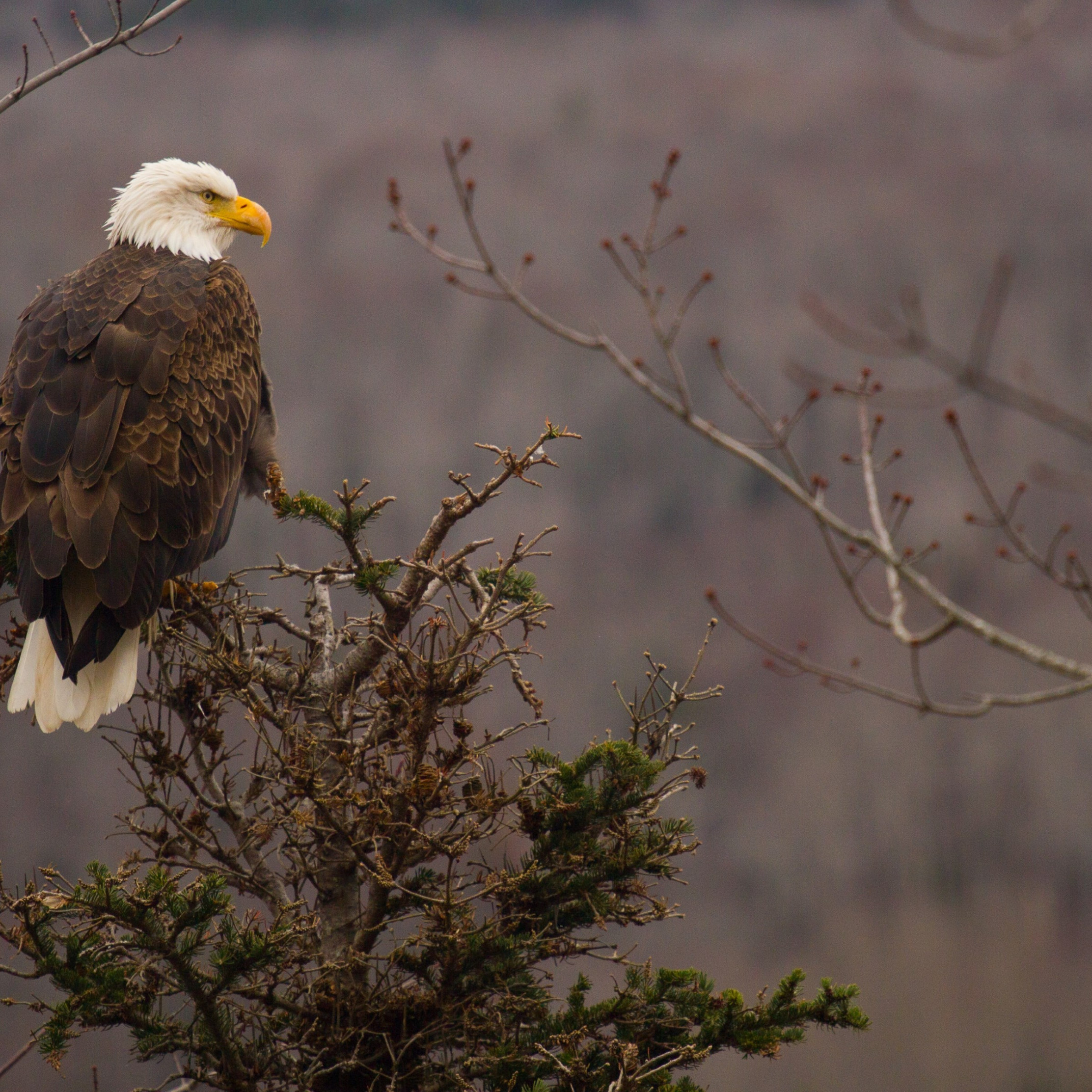 Bald Eagle wallpaper 2224x2224
