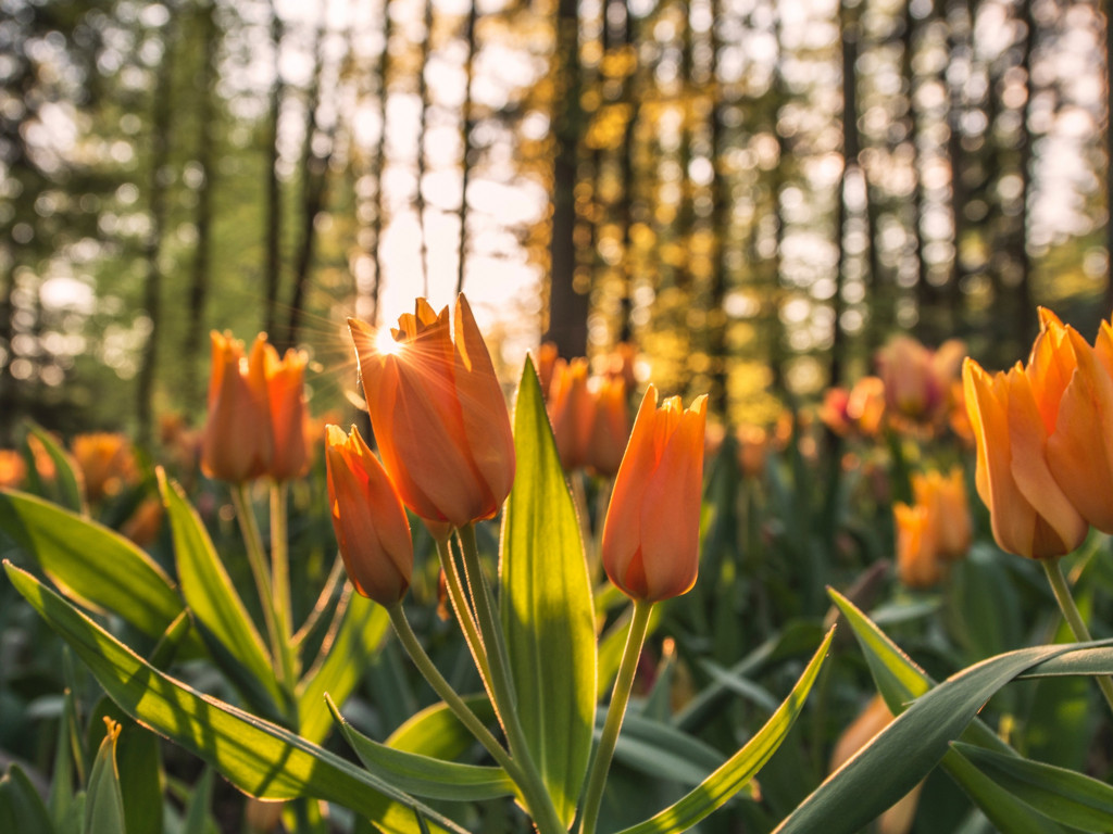 Orange tulips in sunrise wallpaper 1024x768