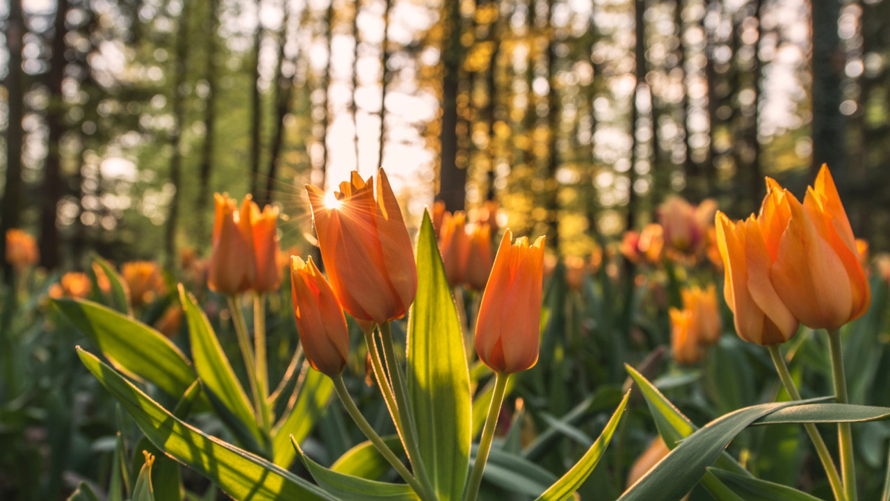 Orange tulips in sunrise wallpaper 1280x720