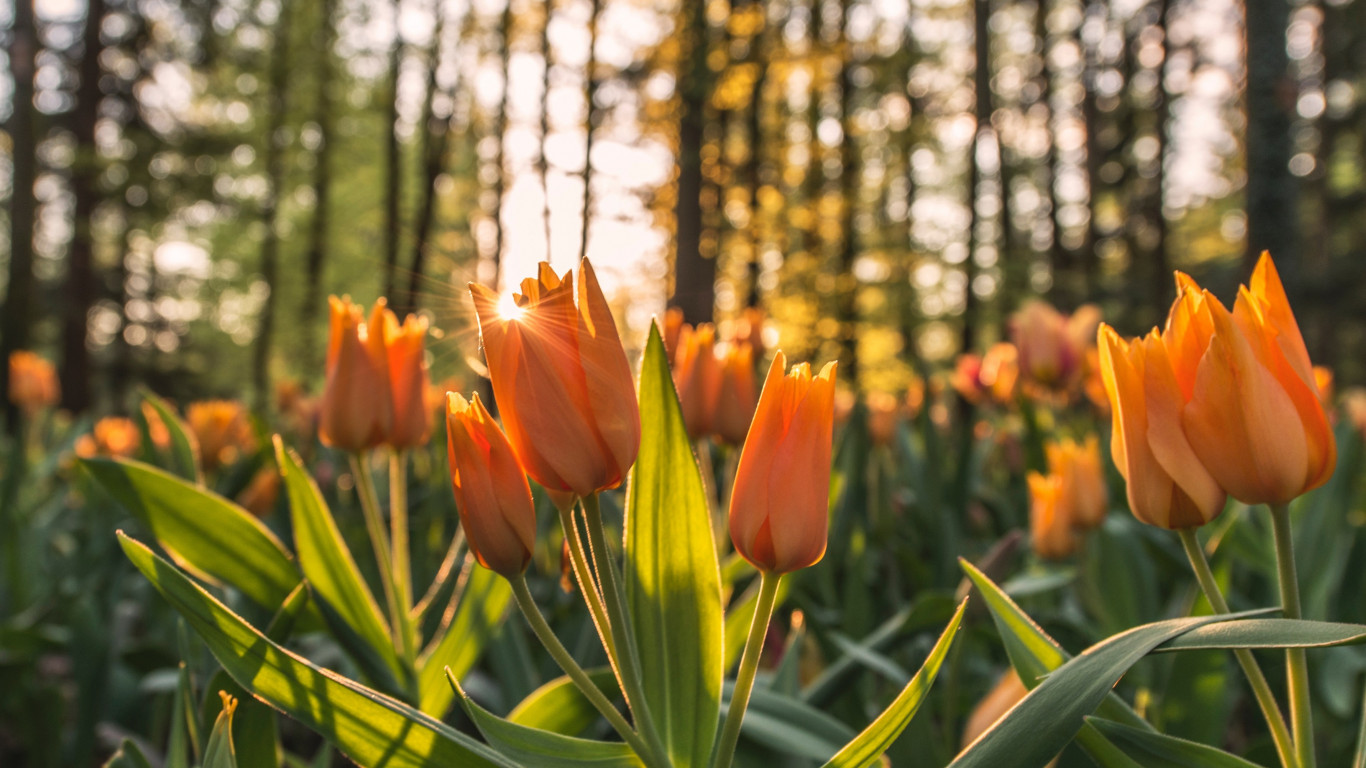 Orange tulips in sunrise wallpaper 1366x768