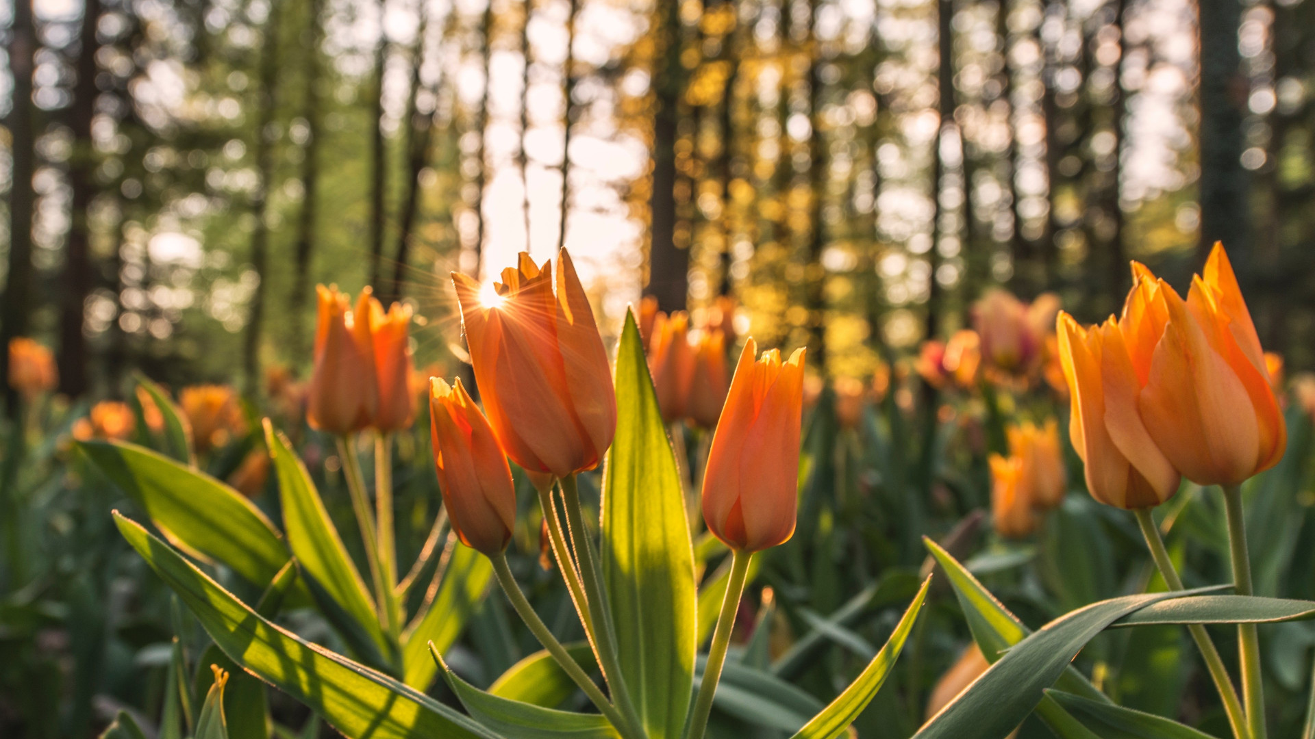 Orange tulips in sunrise wallpaper 1920x1080