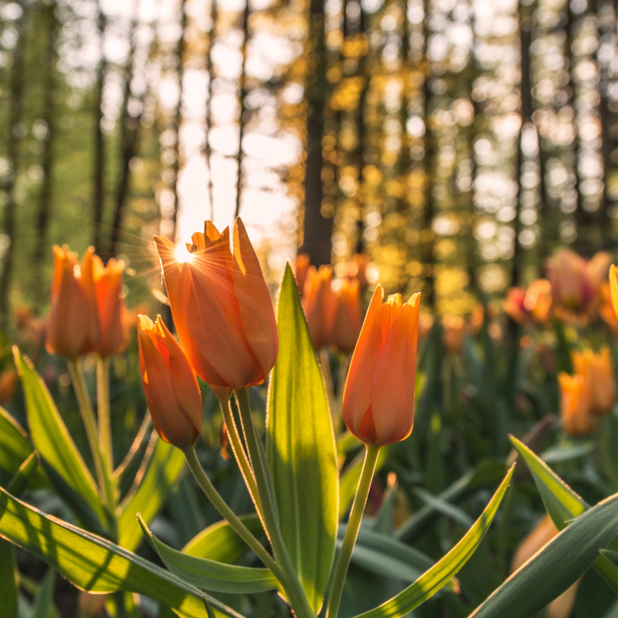 Orange tulips in sunrise wallpaper 2048x2048