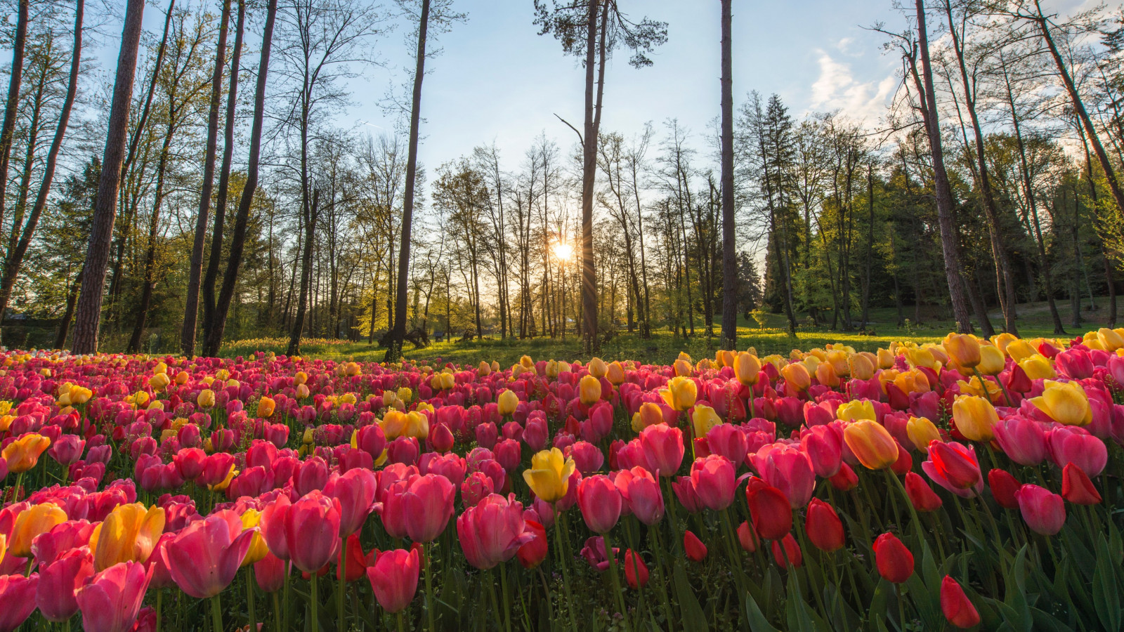 Sun rays through field of tulips wallpaper 1600x900