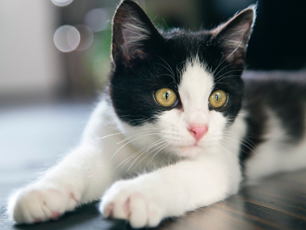 Black and white cat wallpaper 1280x960