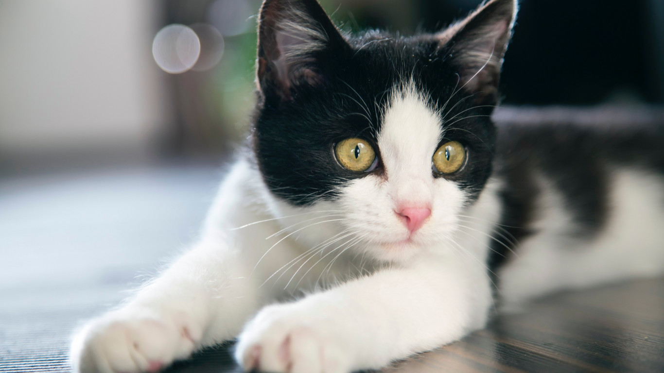 Black and white cat wallpaper 1366x768