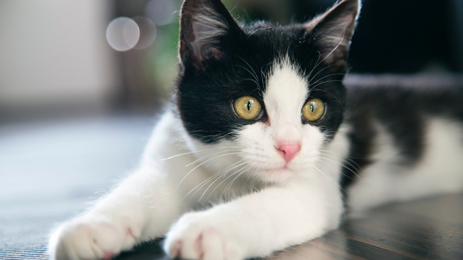 Black and white cat wallpaper 1600x900