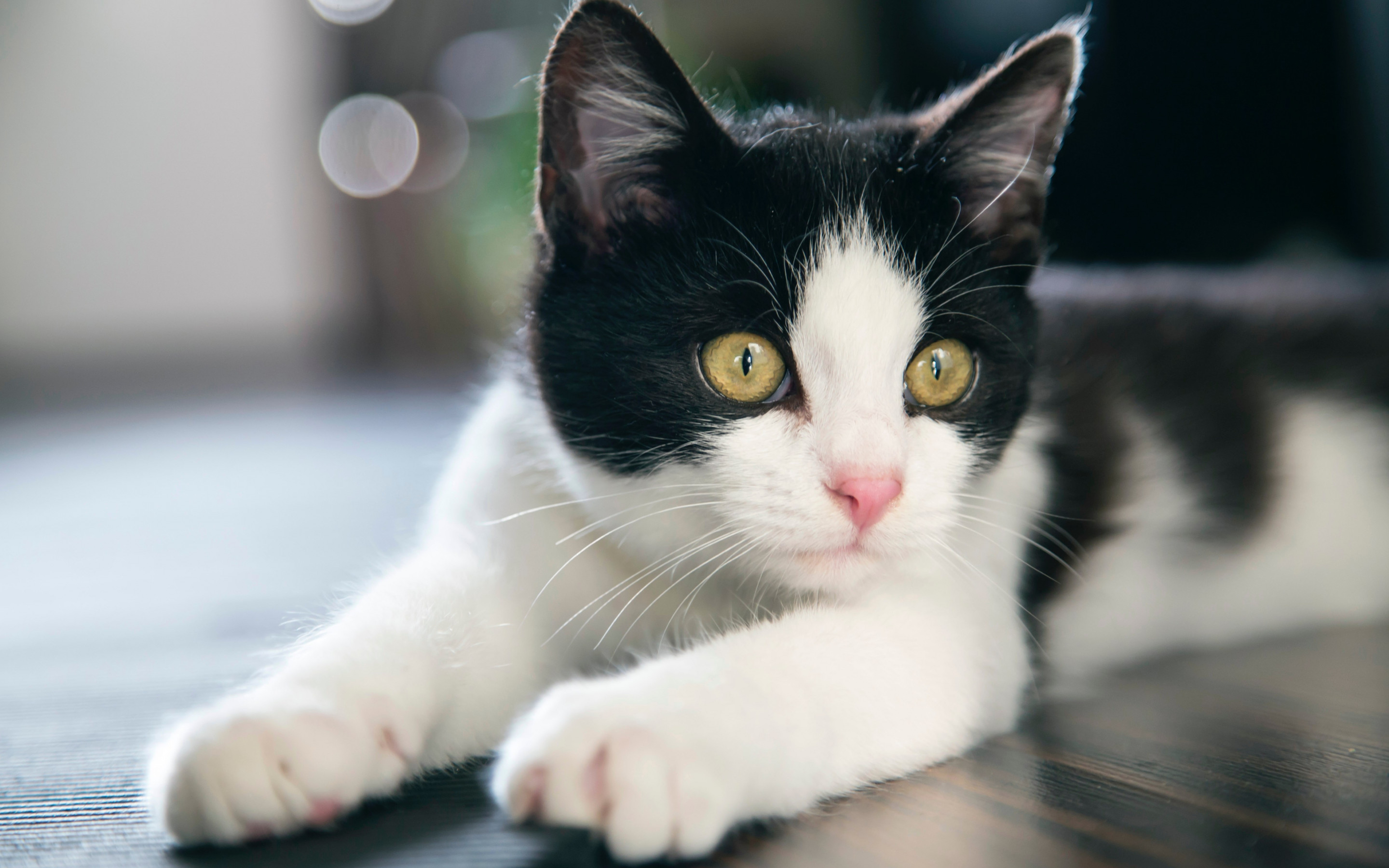 Download Wallpaper Black And White Cat 2880x1800