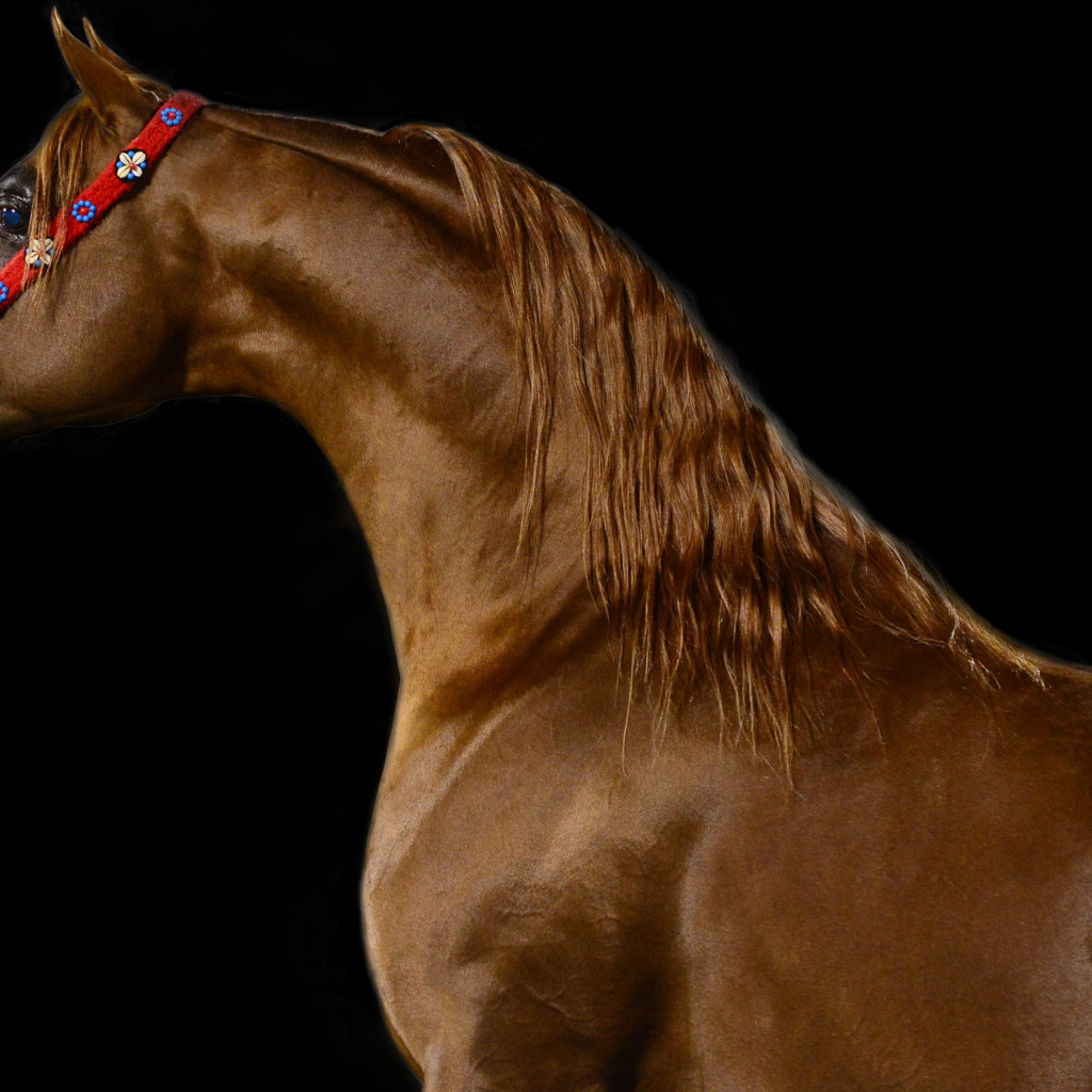 Arabian horse | 1024x1024 wallpaper
