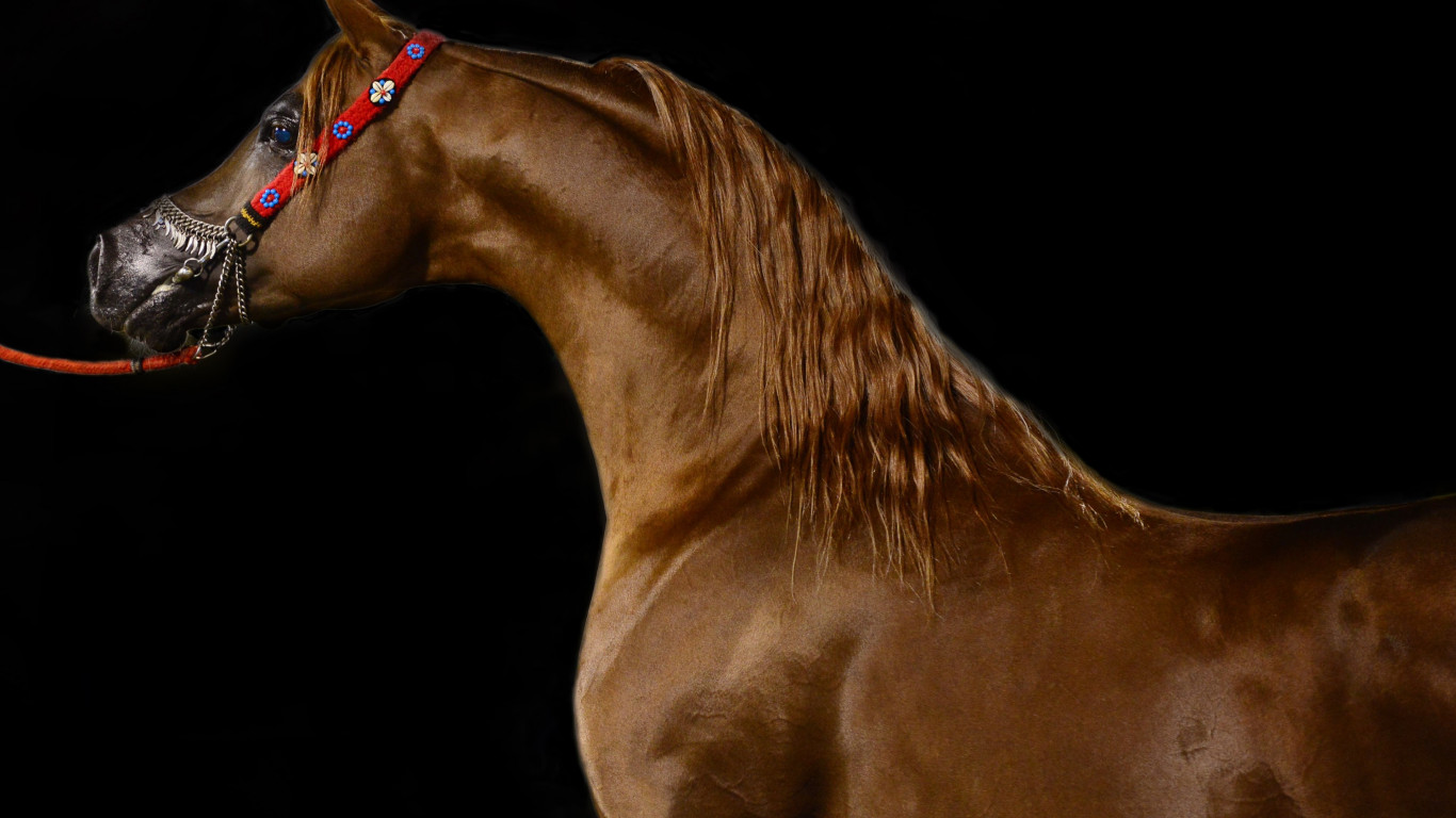 Arabian horse wallpaper 1366x768