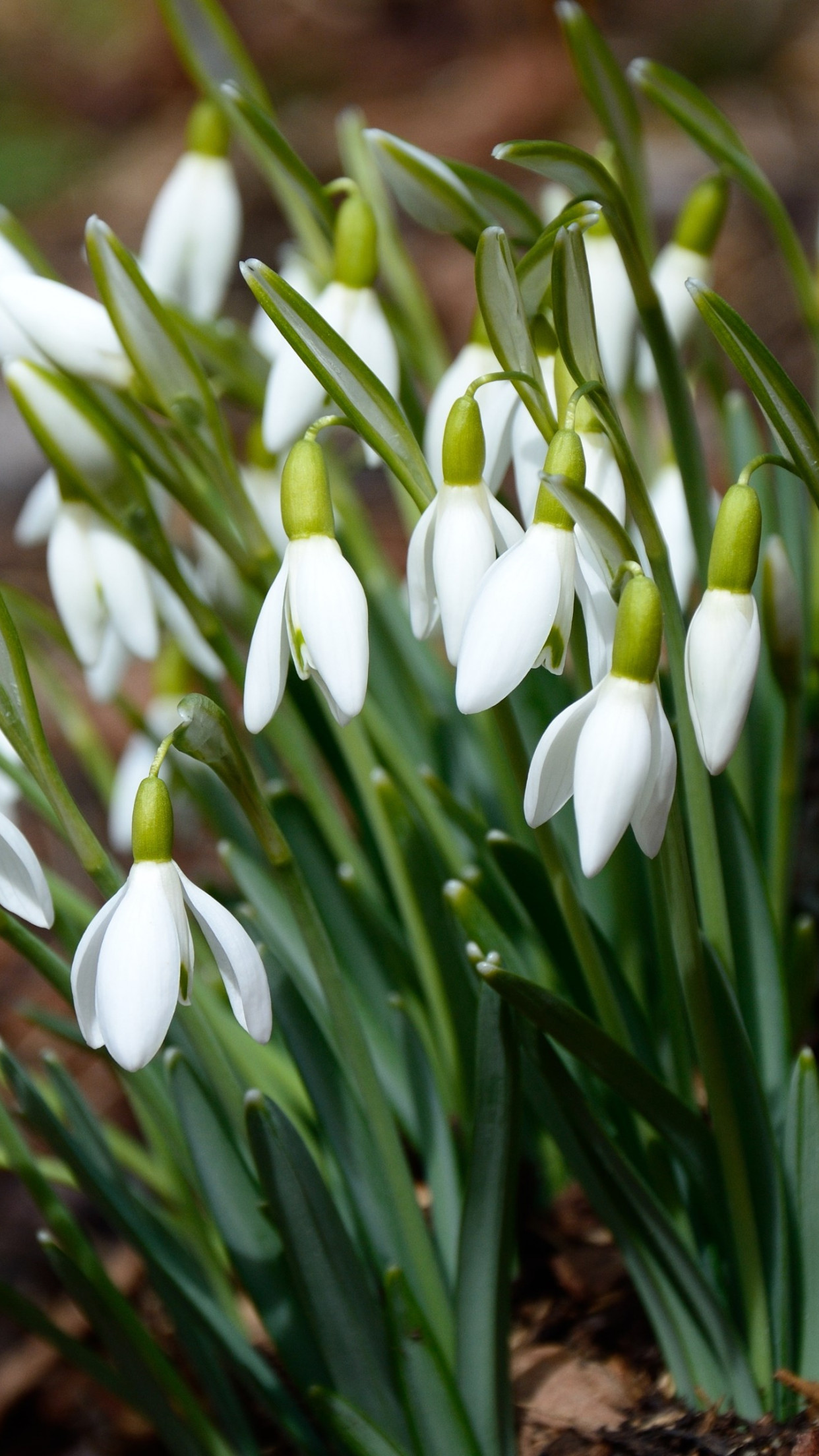 Gorgeous snowdrops wallpaper 1242x2208