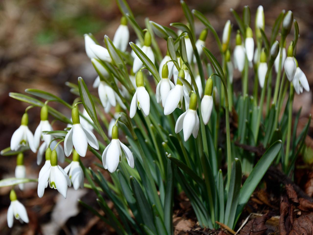Gorgeous snowdrops | 1280x960 wallpaper