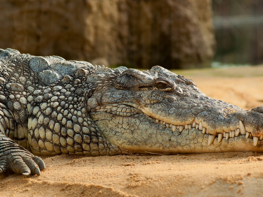 Nile crocodile | 1024x768 wallpaper