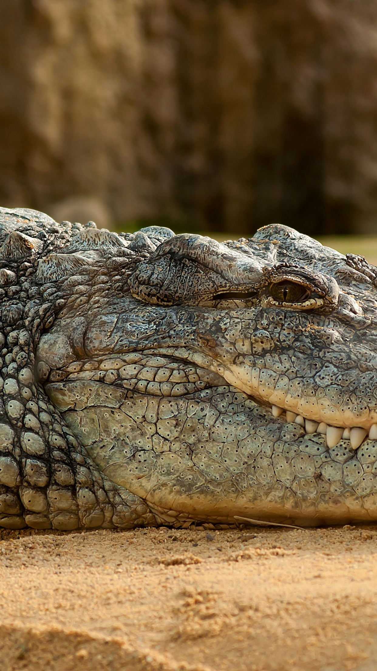 Nile crocodile | 1242x2208 wallpaper
