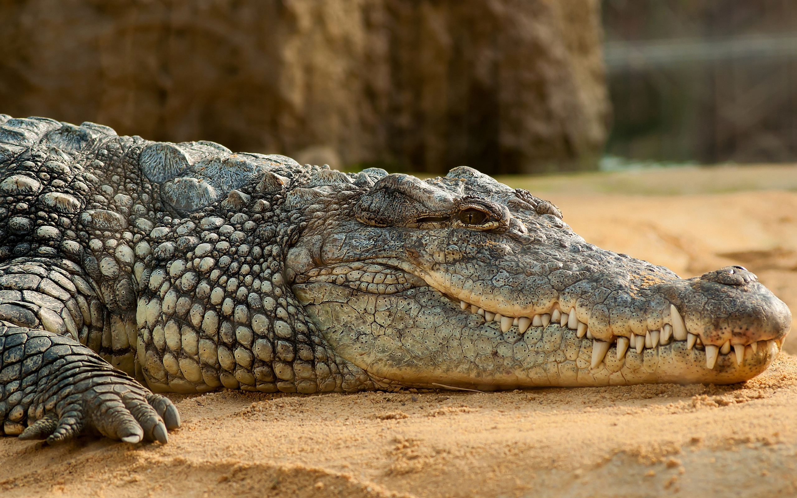 Nile crocodile wallpaper 2560x1600