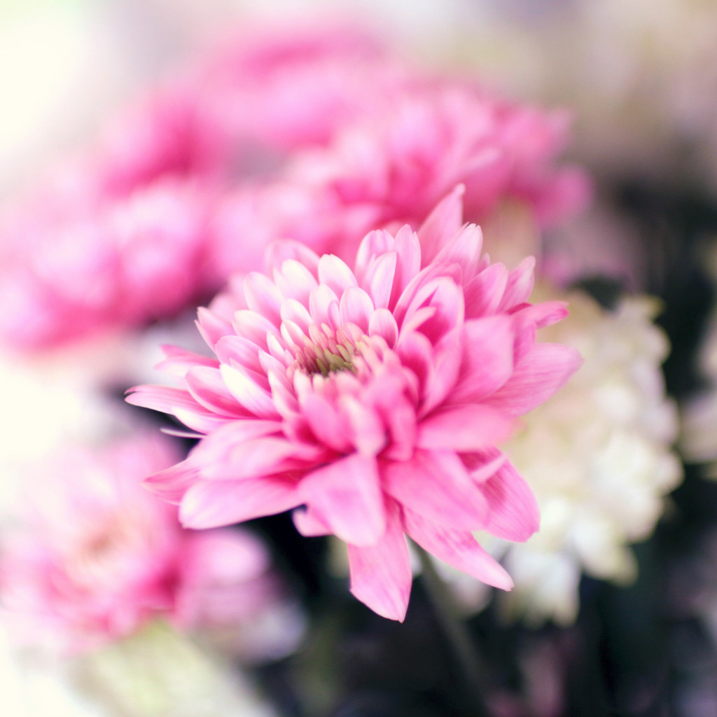 Pink and white flowers | 1024x1024 wallpaper