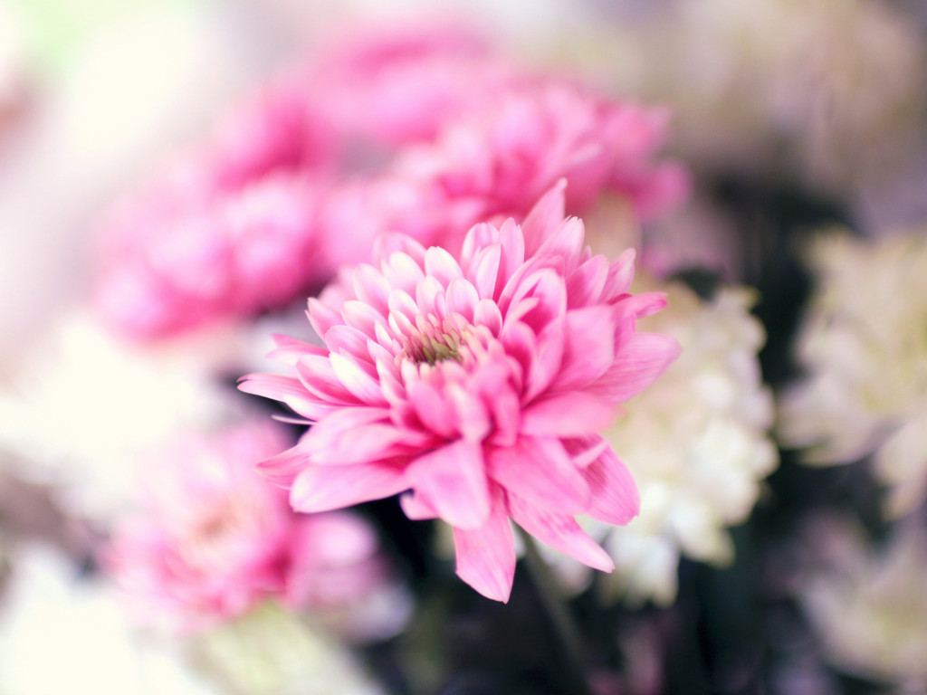 Pink and white flowers | 1024x768 wallpaper