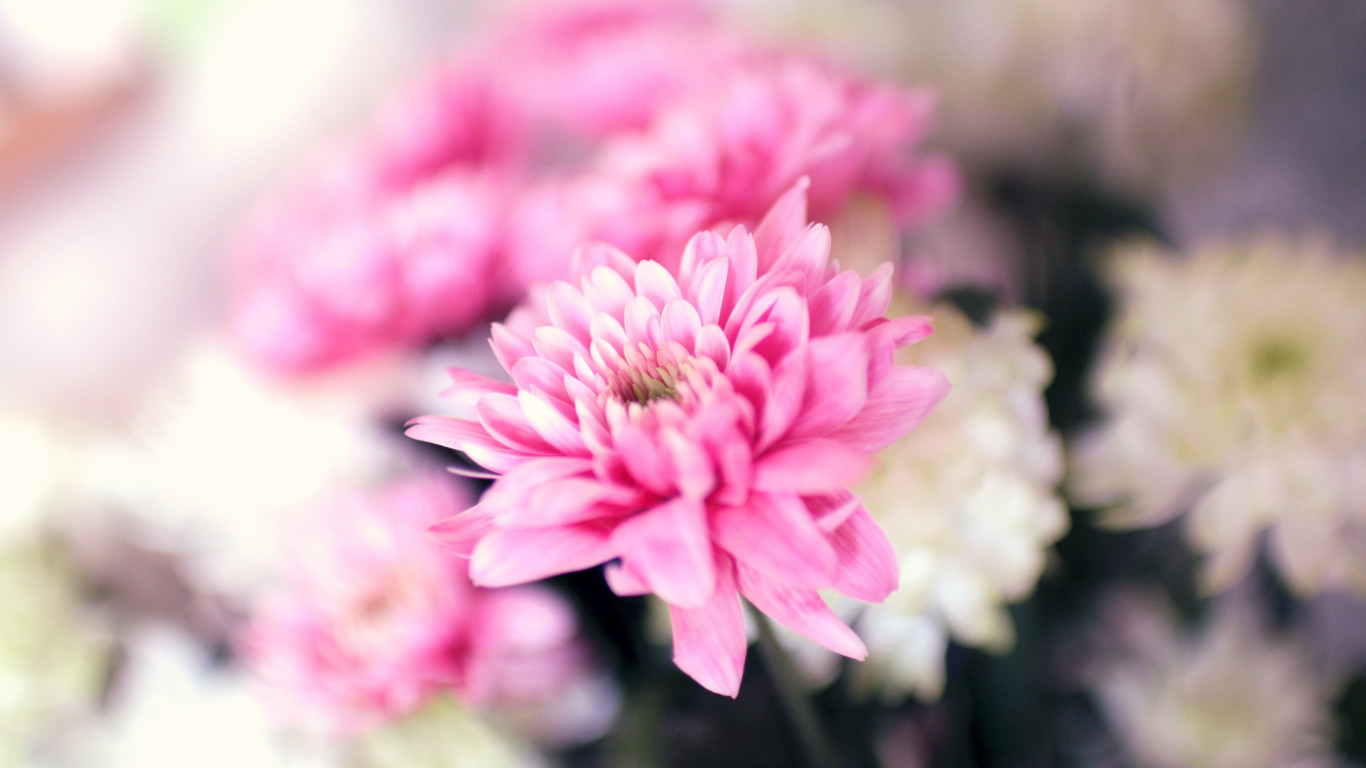 Pink and white flowers | 1366x768 wallpaper