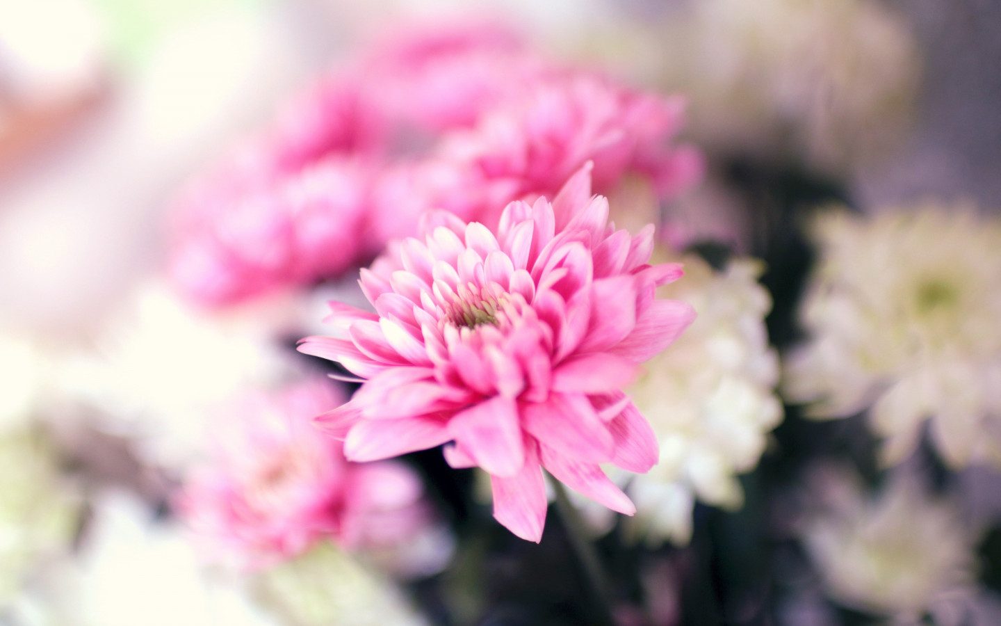 Pink and white flowers | 1440x900 wallpaper