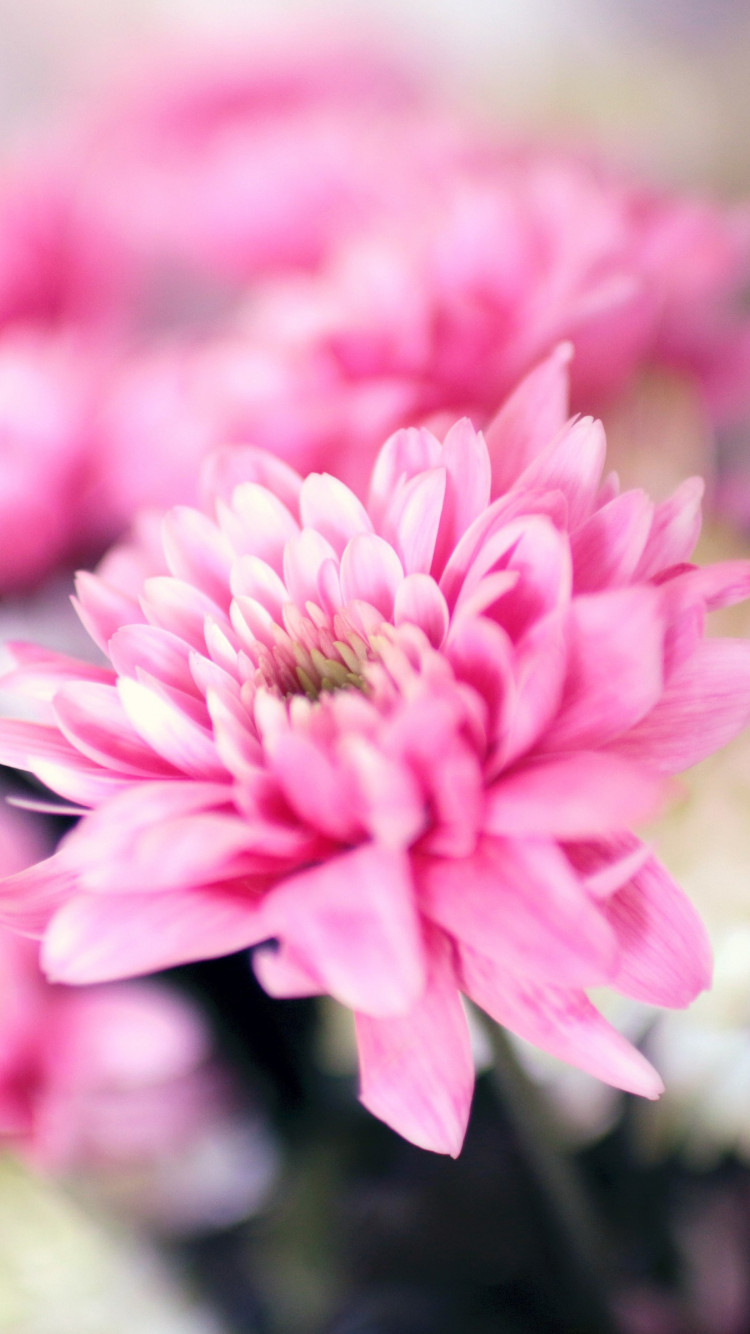 Pink and white flowers | 750x1334 wallpaper