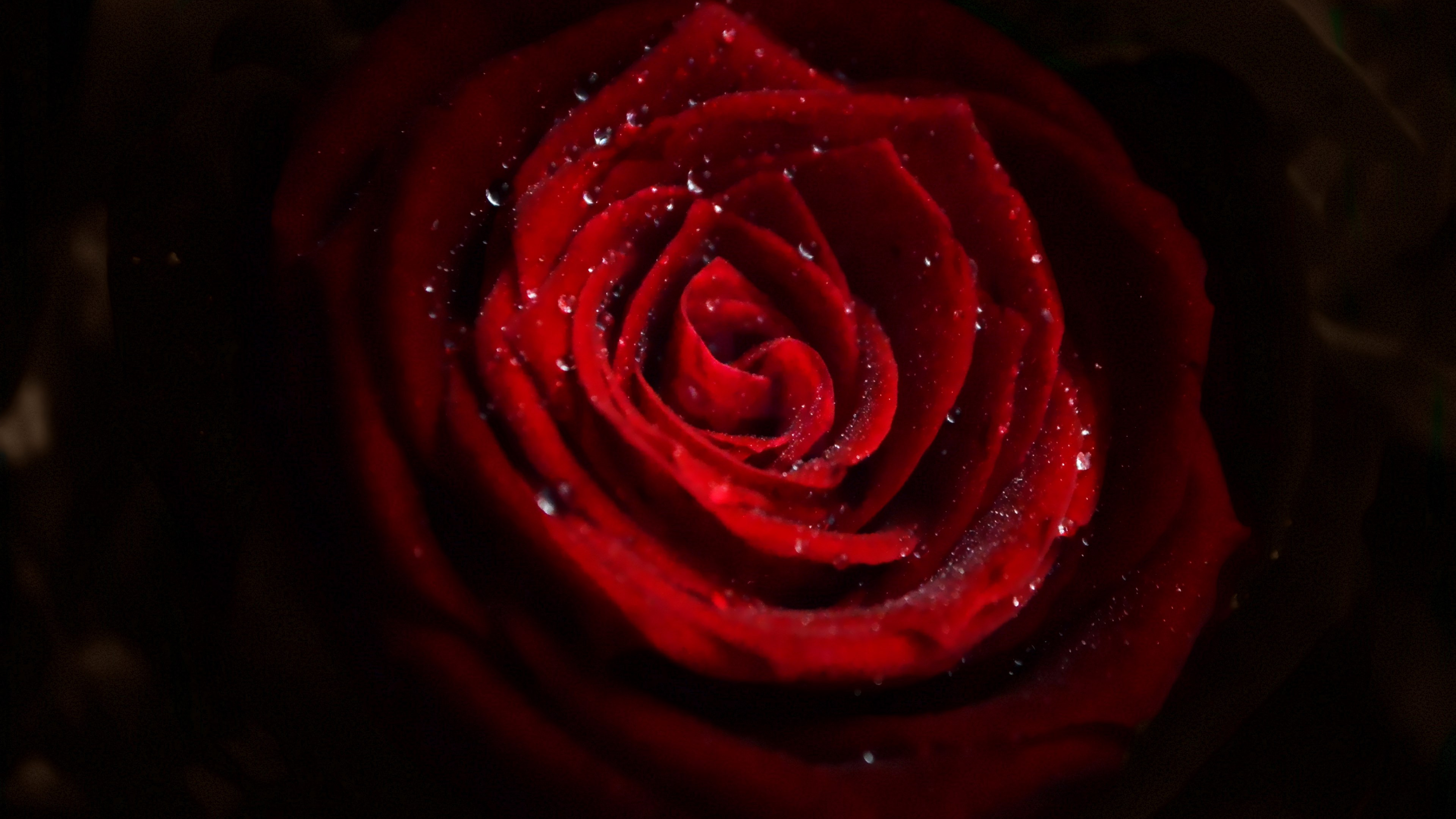 Water drops on red rose wallpaper 3840x2160