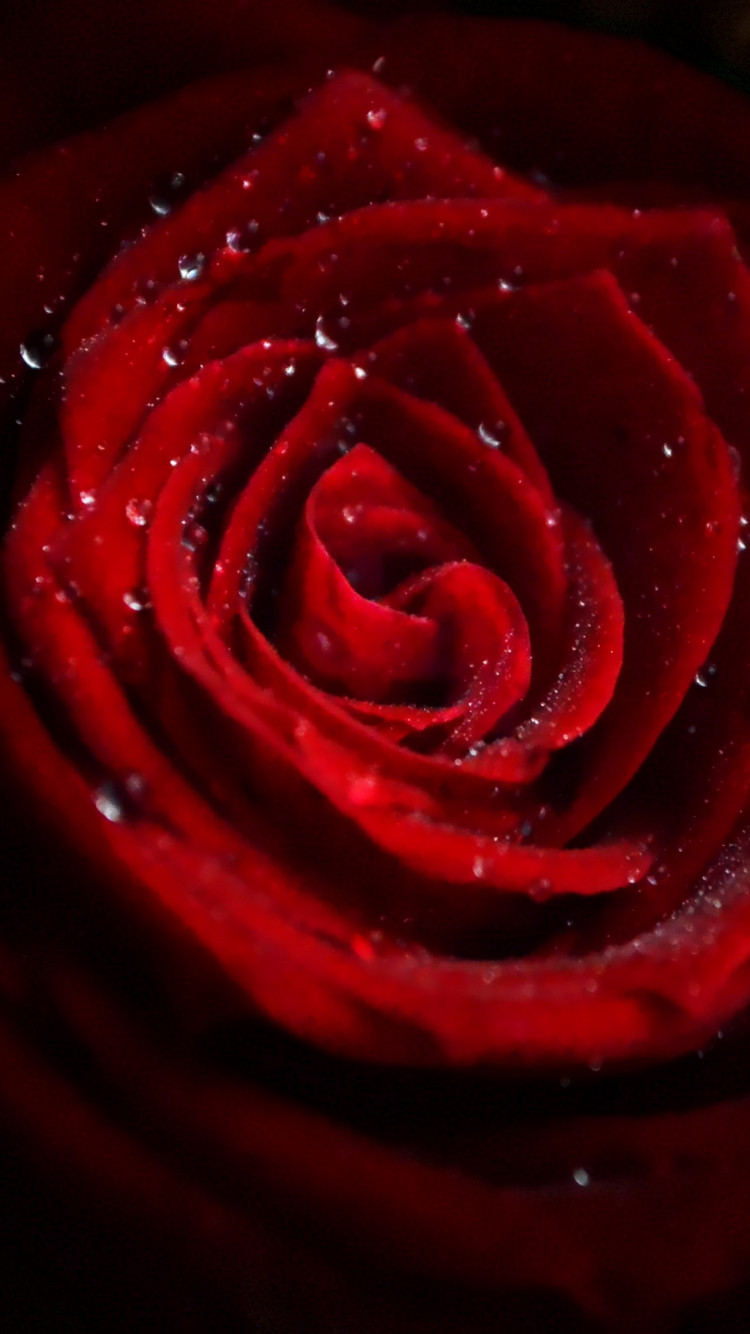 Water drops on red rose wallpaper 750x1334