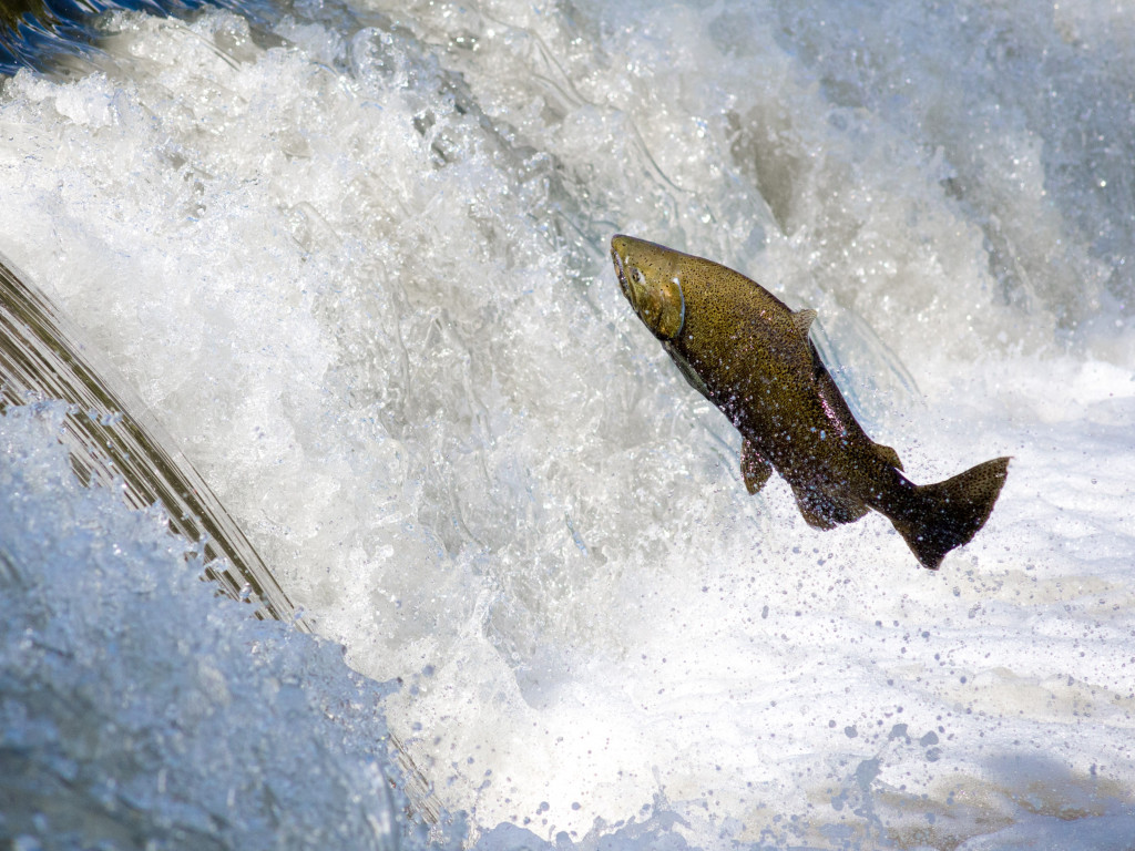 Salmon jumping over waterfall wallpaper 1024x768