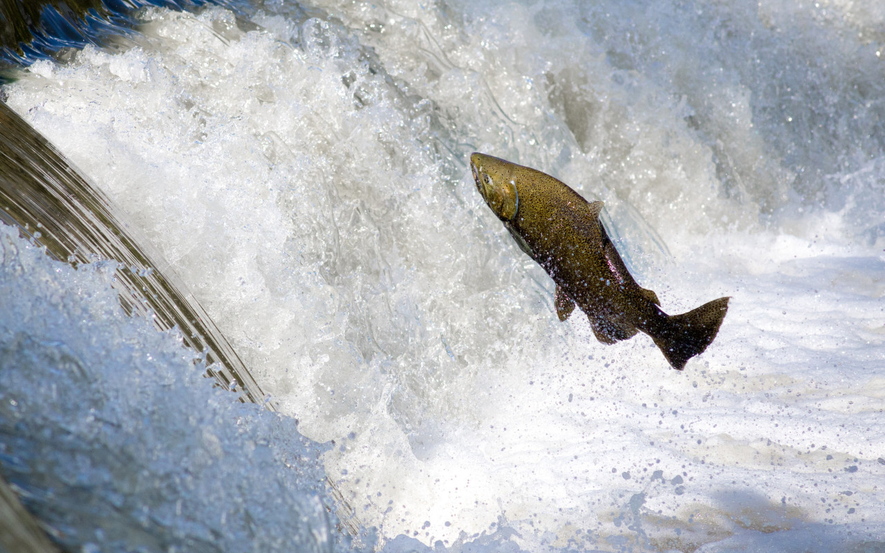 Salmon jumping over waterfall wallpaper 1280x800