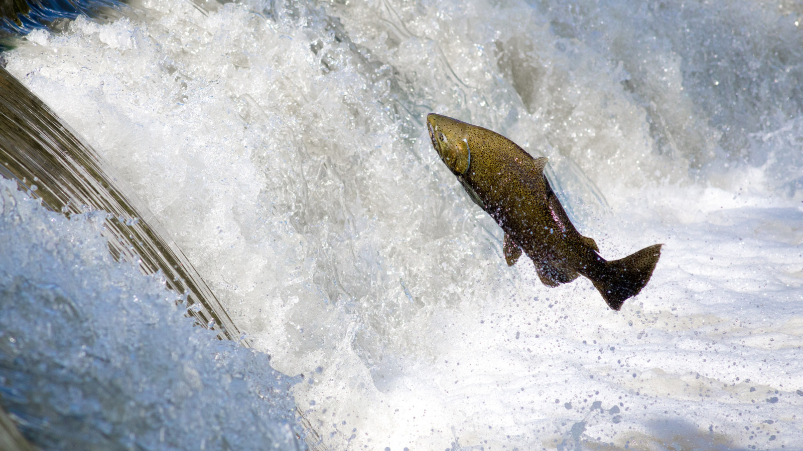 Salmon jumping over waterfall wallpaper 1600x900