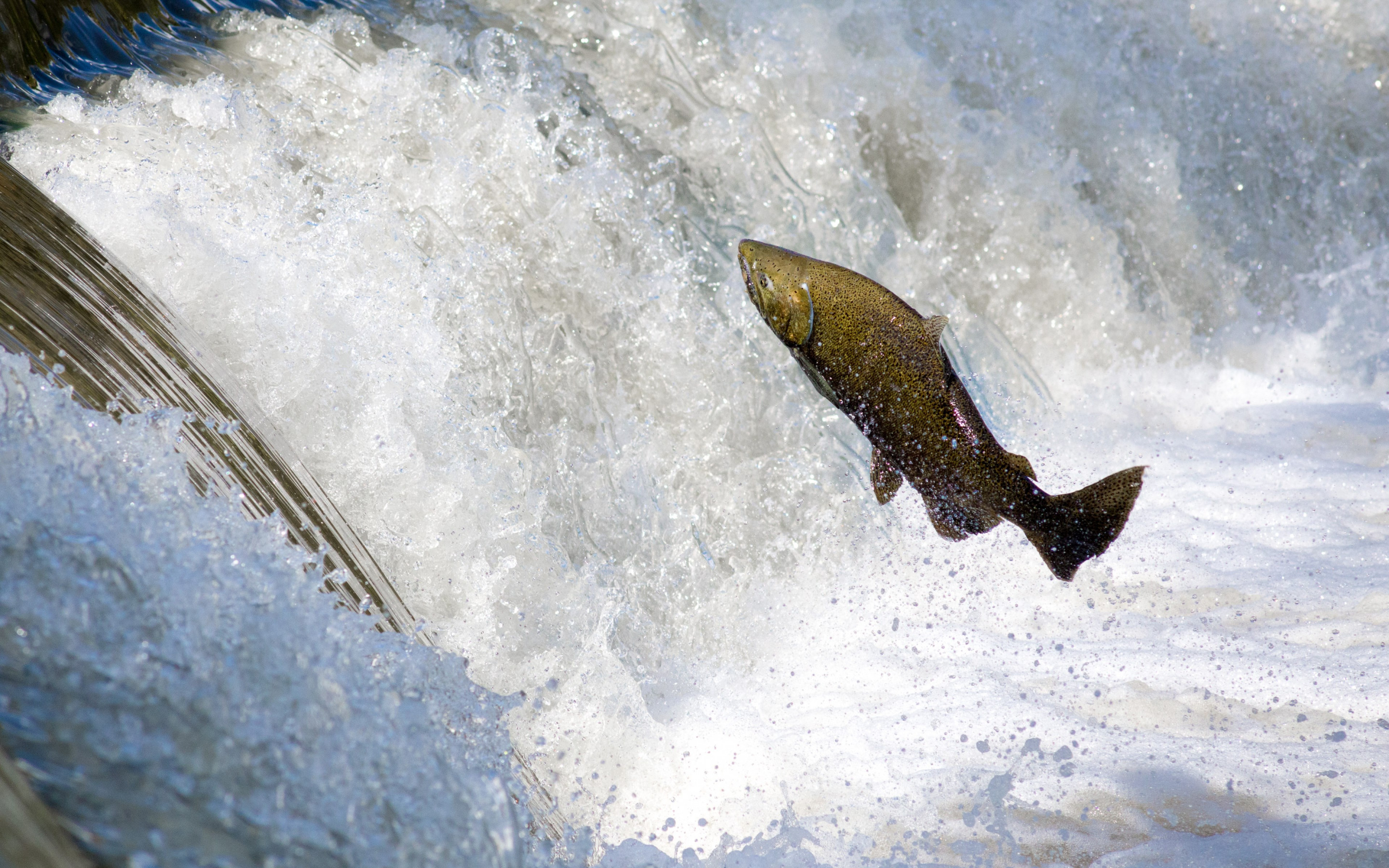 Salmon jumping over waterfall wallpaper 2880x1800