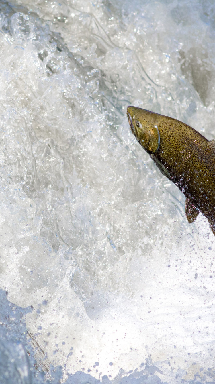 Salmon jumping over waterfall wallpaper 750x1334