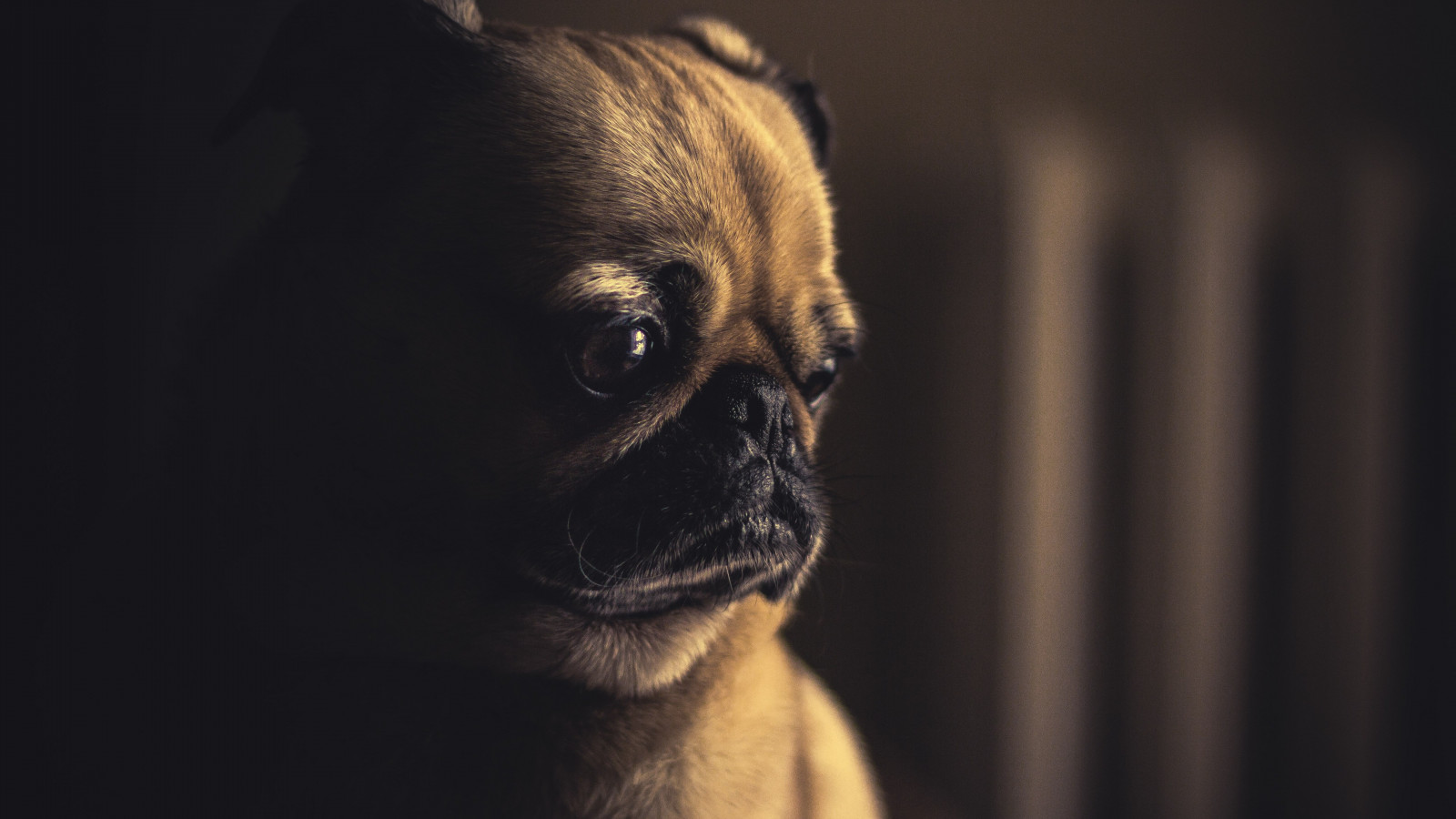 So cute this pug puppy wallpaper 1600x900