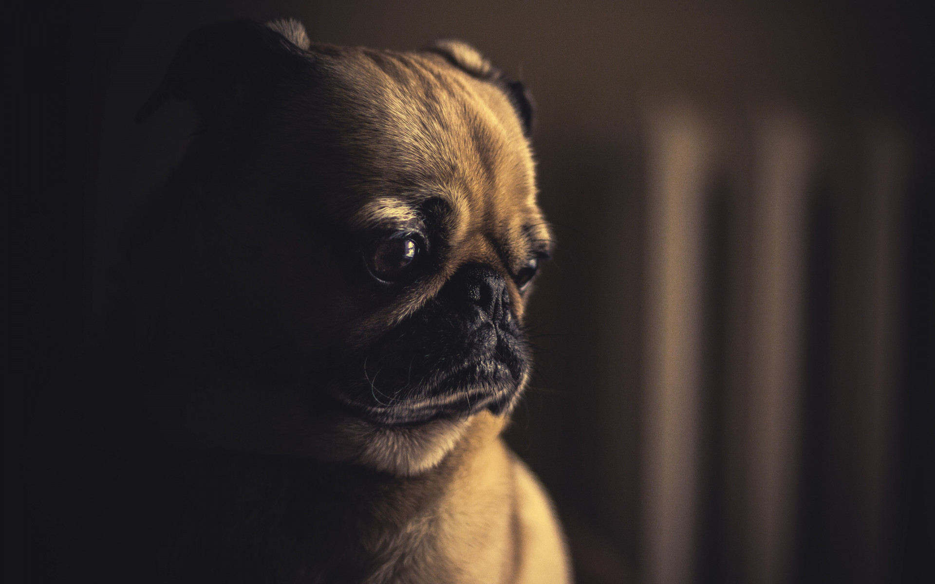 So cute this pug puppy wallpaper 1920x1200