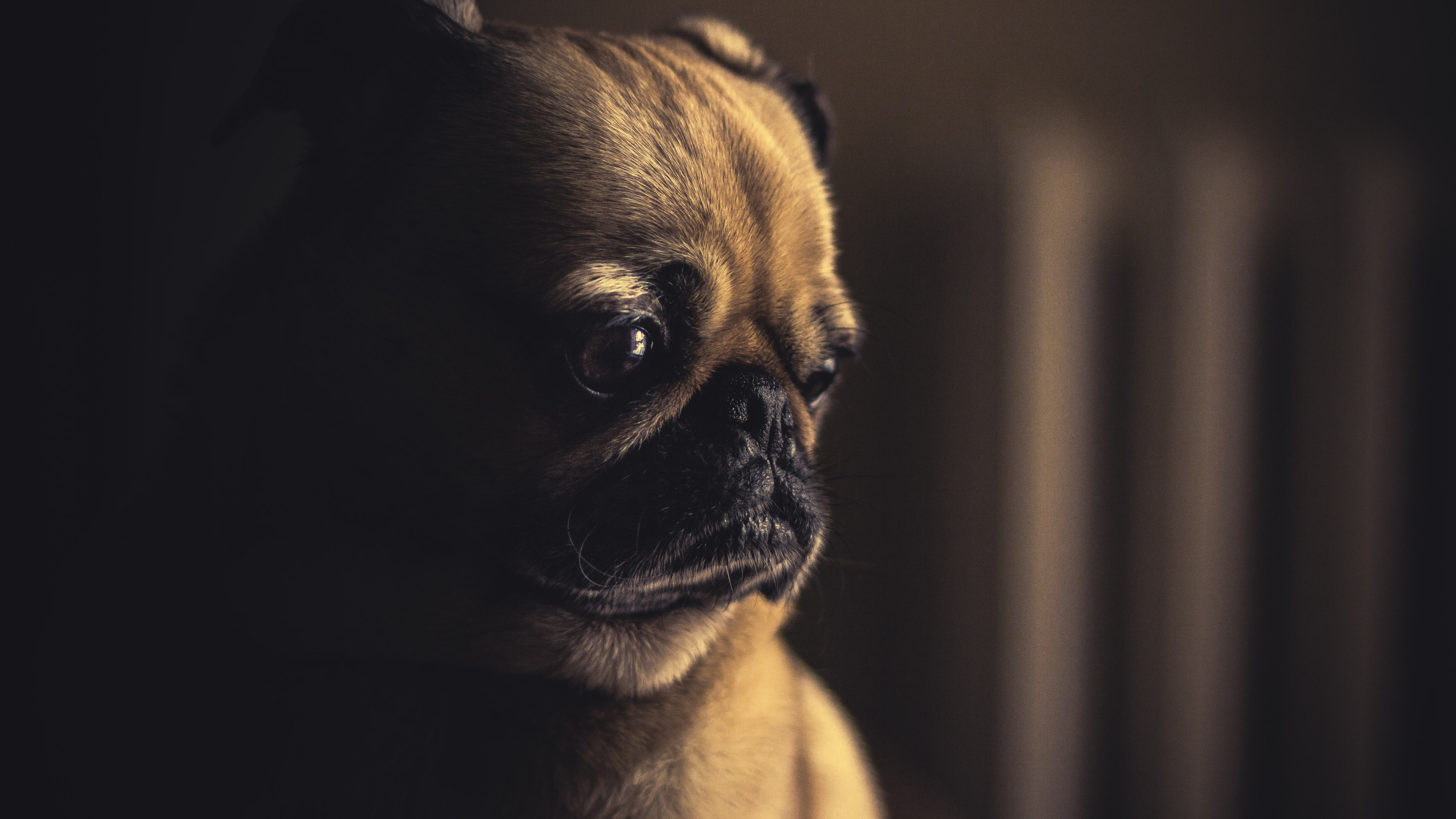 So cute this pug puppy wallpaper 5120x2880