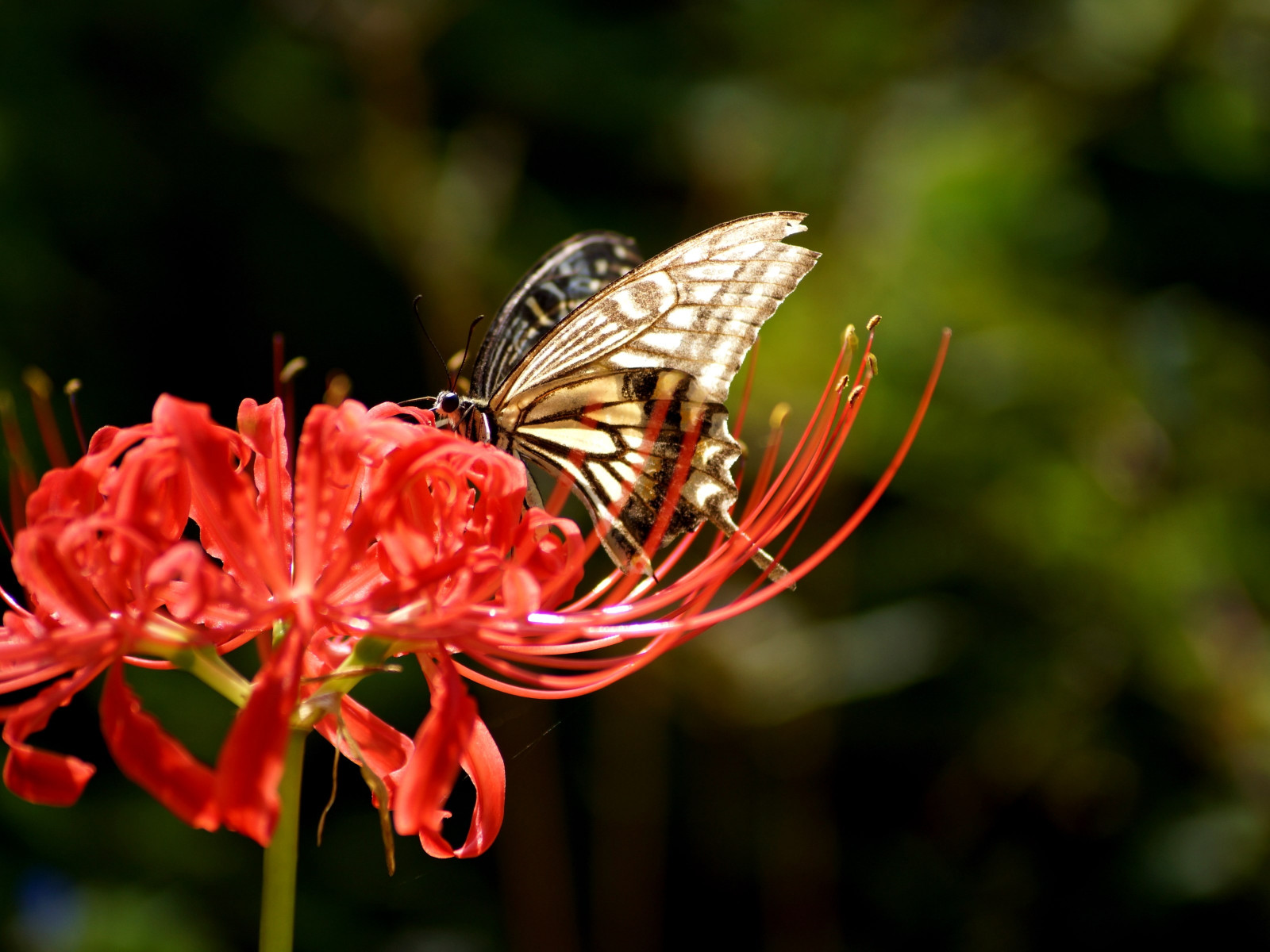 Butterfly on Lycoris Radiata flower | 1600x1200 wallpaper
