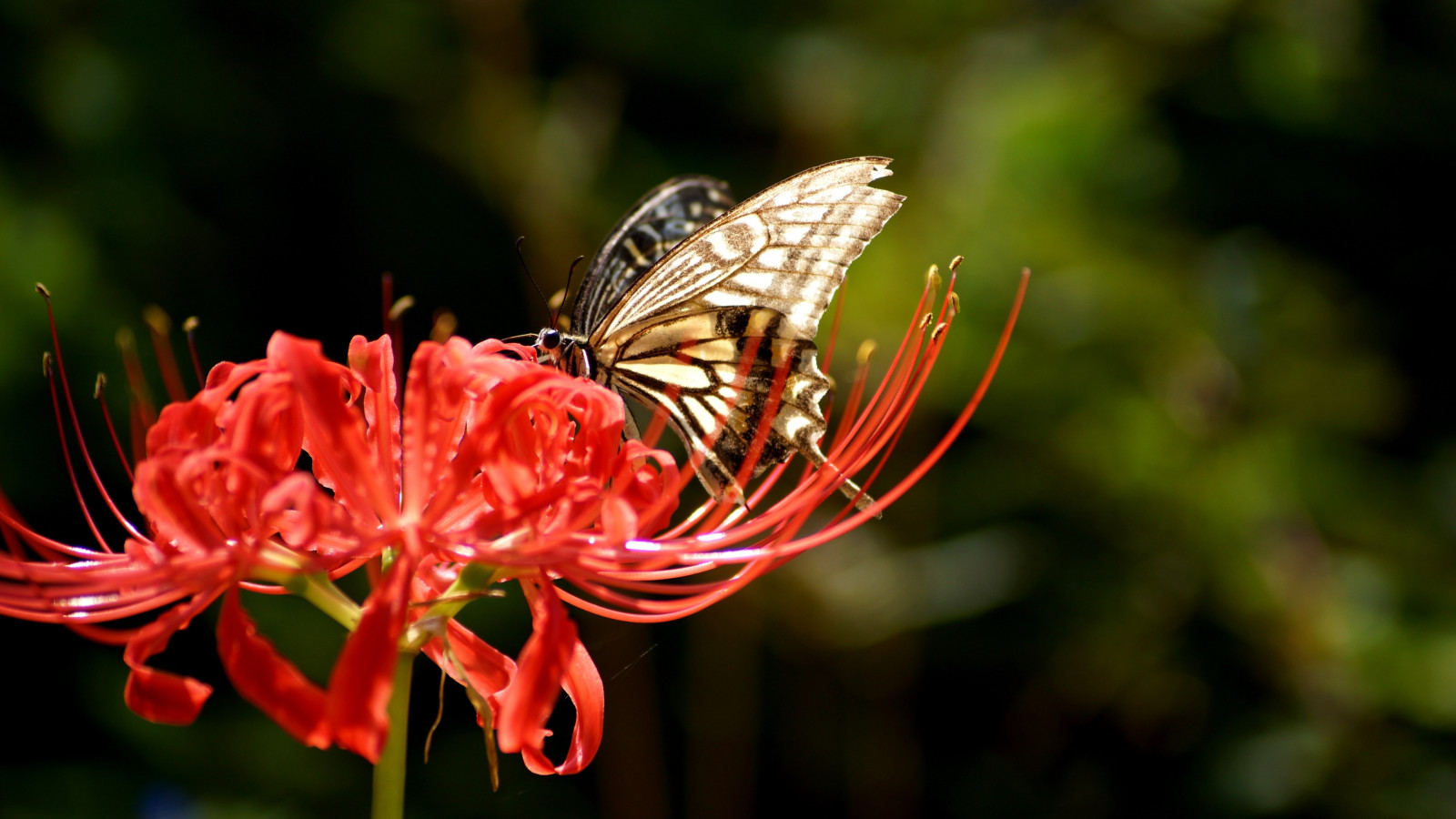 Butterfly on Lycoris Radiata flower wallpaper 1600x900