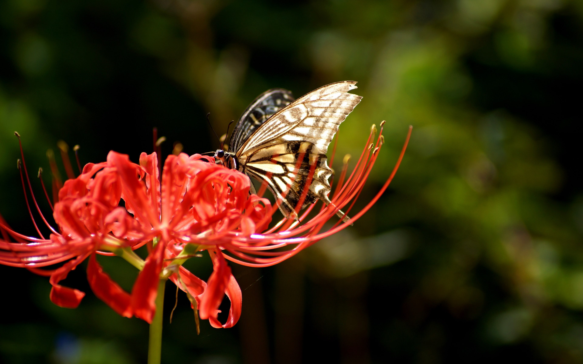 Butterfly on Lycoris Radiata flower wallpaper 1920x1200