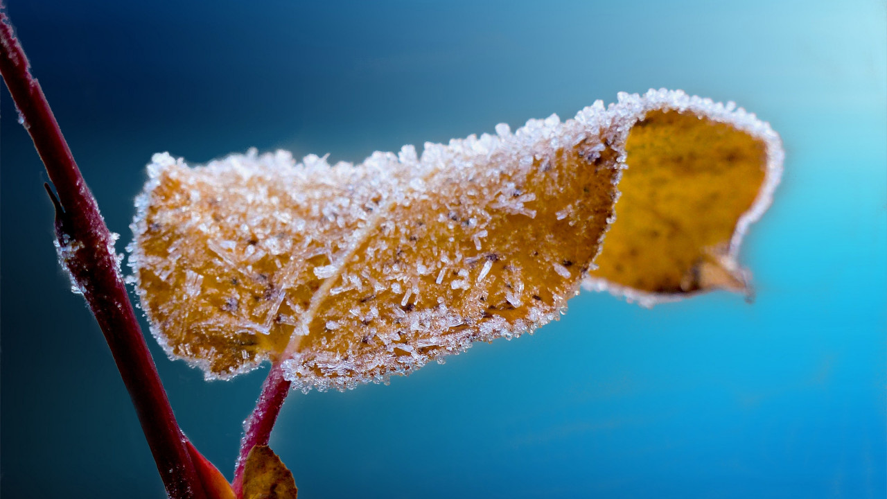 Frosted leaf | 1280x720 wallpaper