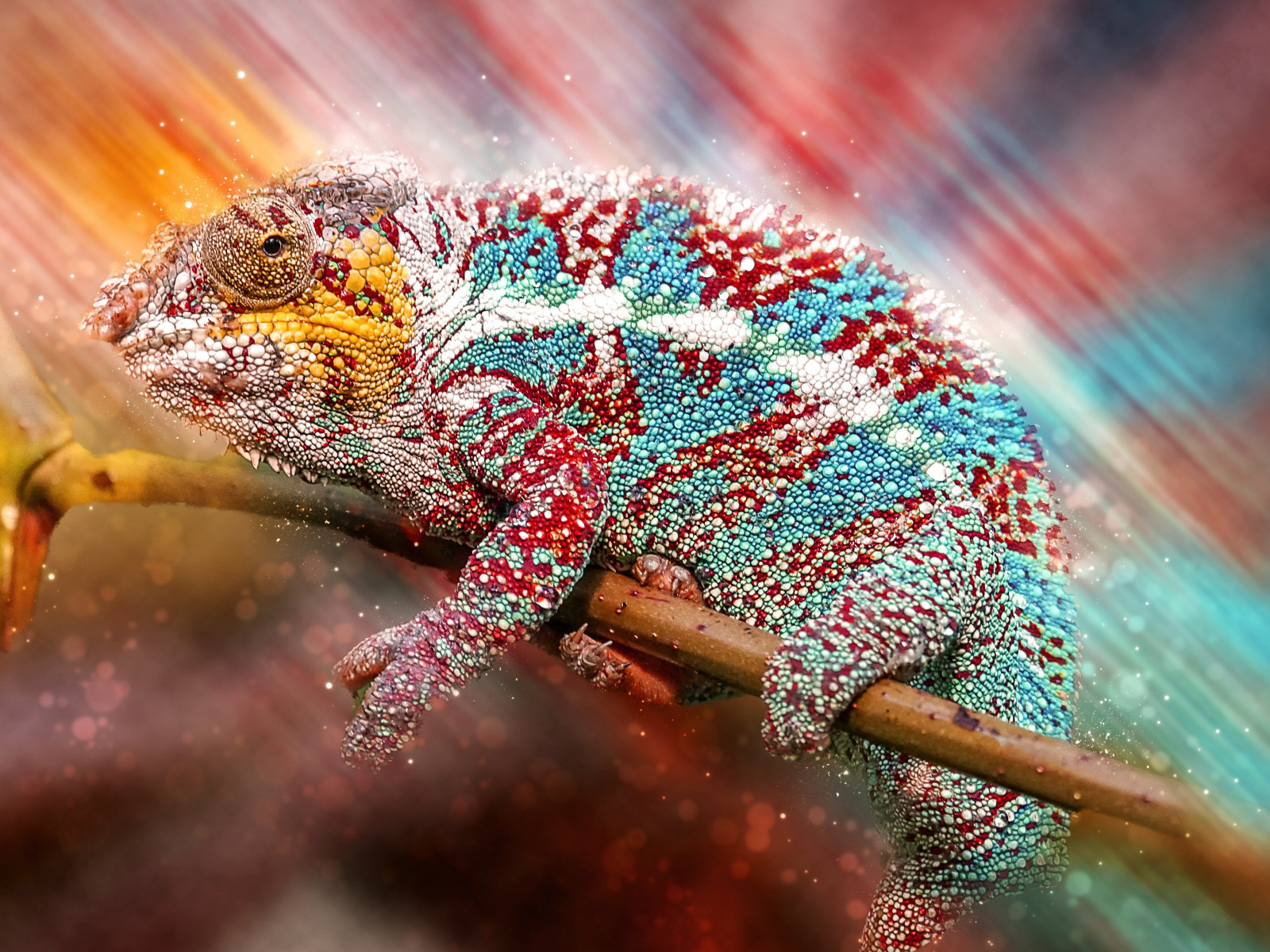 Panther chameleon | 1600x1200 wallpaper