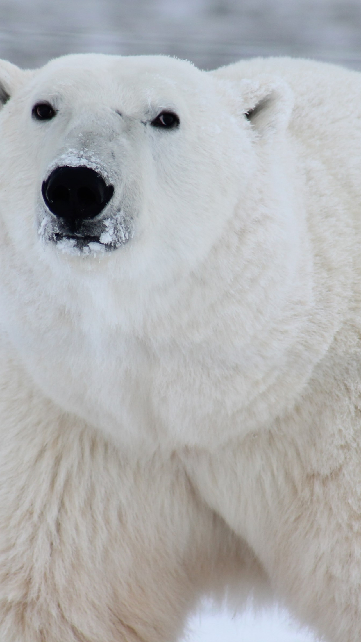 Polar bear in his environment wallpaper 1242x2208