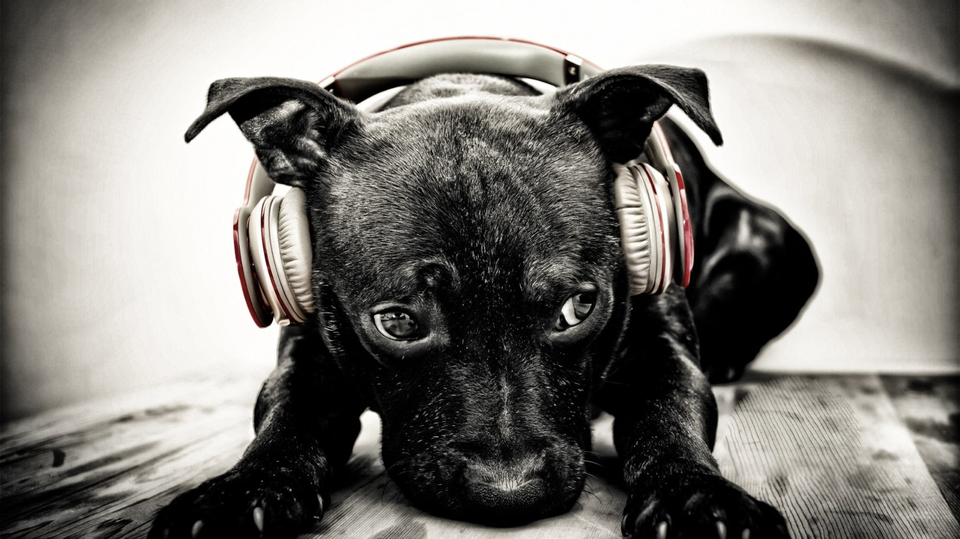 Puppy with beats headphones wallpaper 1366x768