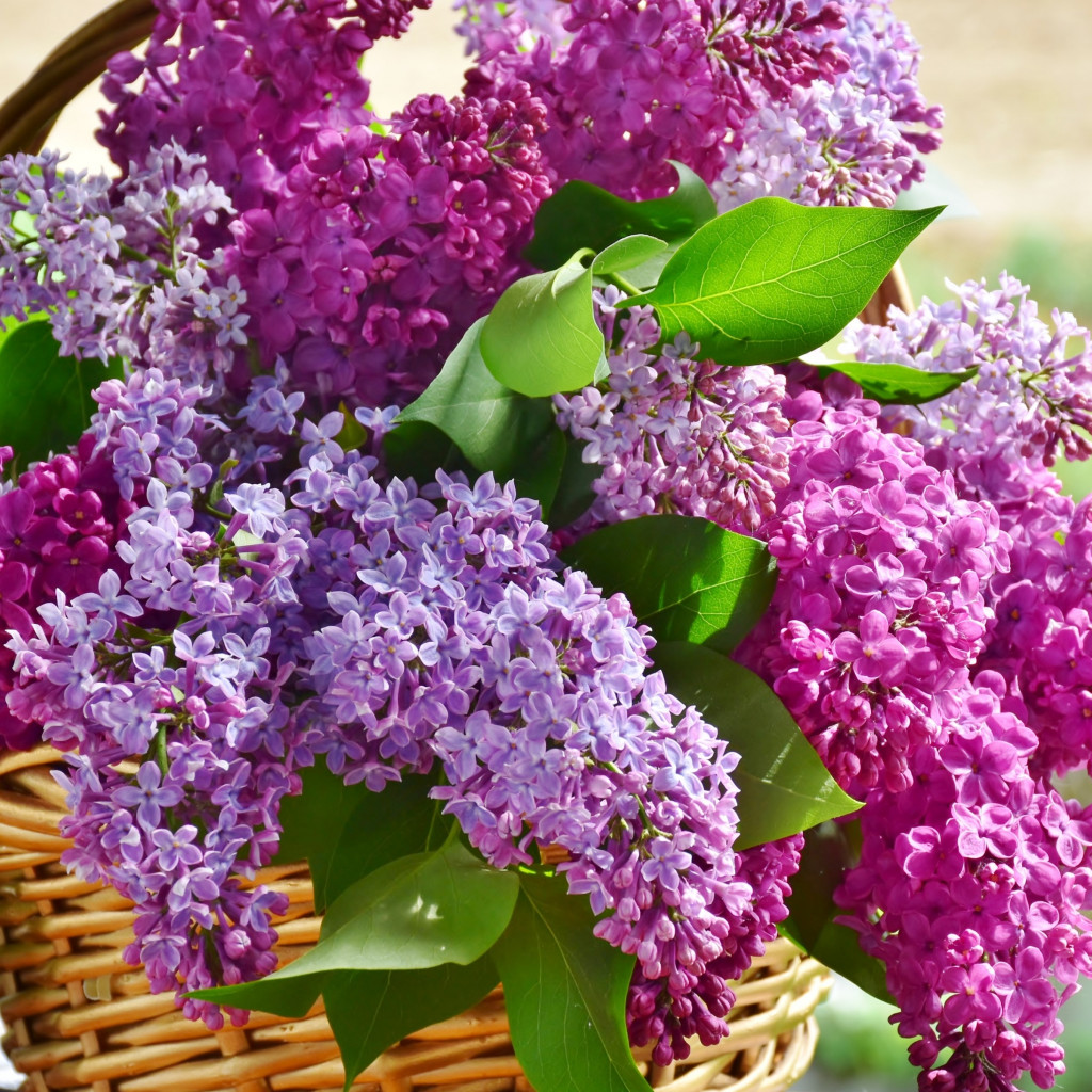 Best basket with lilac flowers wallpaper 1024x1024