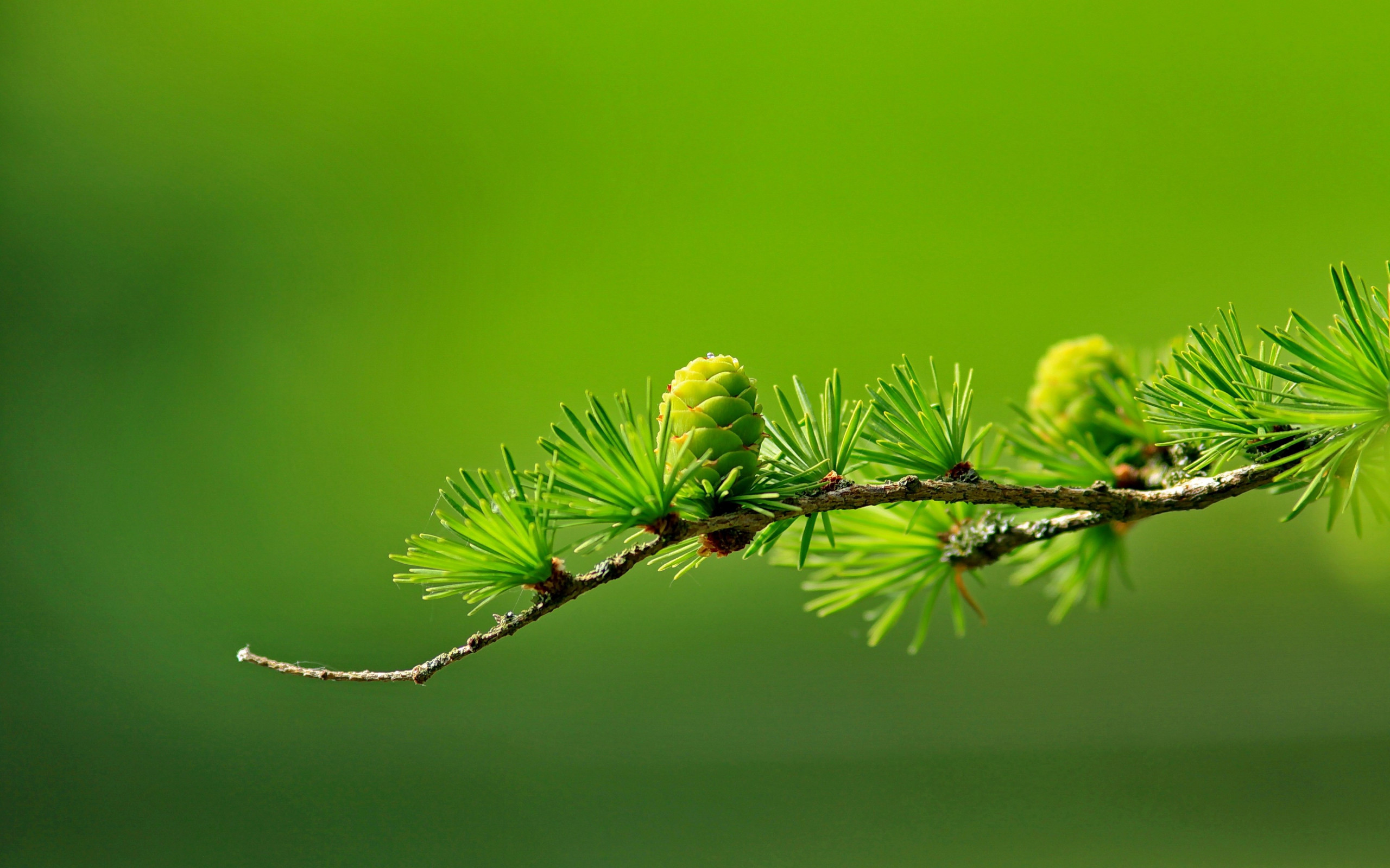 Conifer cone wallpaper 2560x1600
