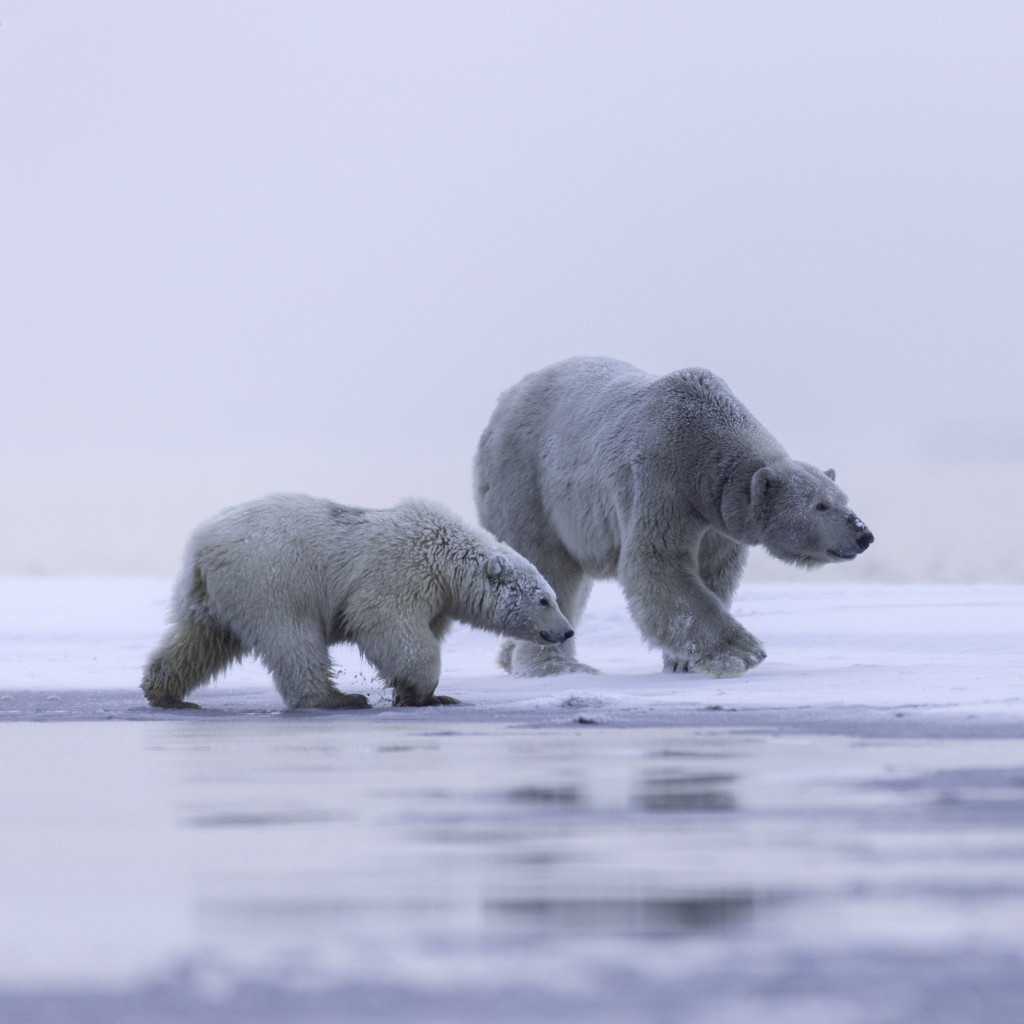 Polar bears: mother and cub | 1024x1024 wallpaper
