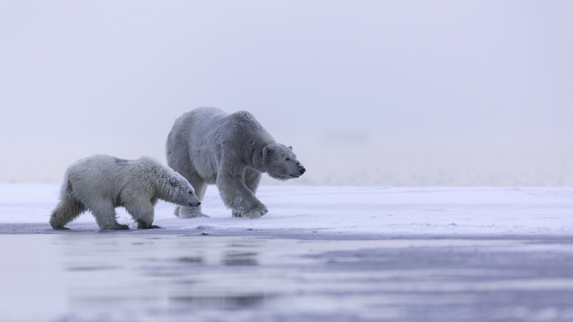 Polar bears: mother and cub wallpaper 1920x1080