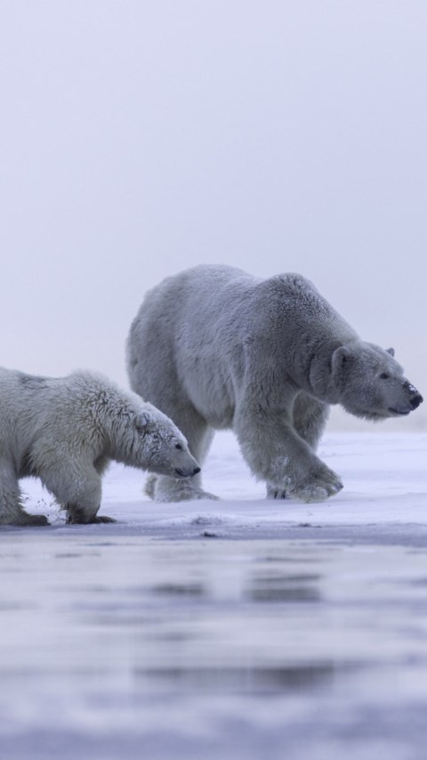 Polar bears: mother and cub wallpaper 480x854