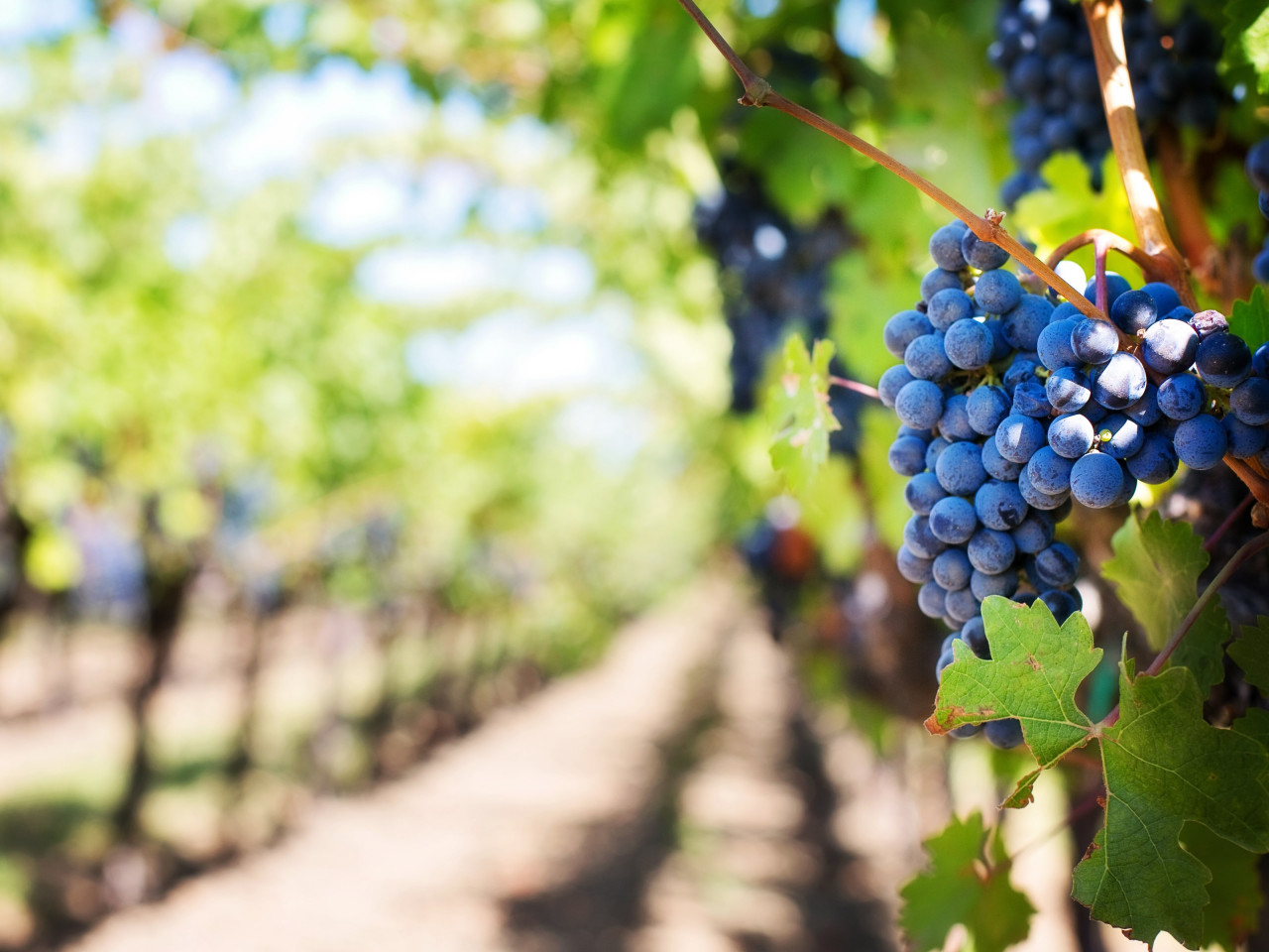 Grapes in vineyard wallpaper 1280x960
