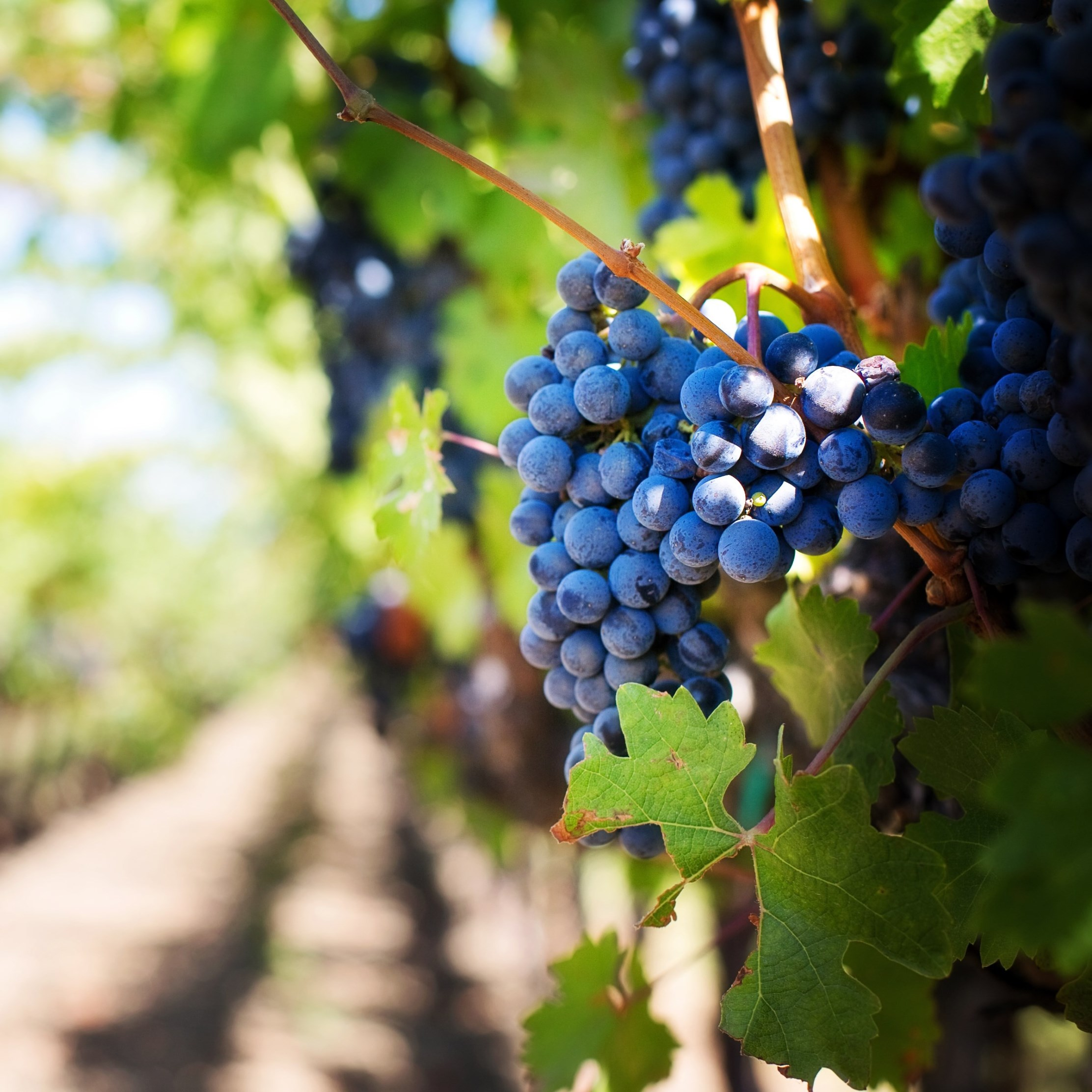 Grapes in vineyard | 2224x2224 wallpaper