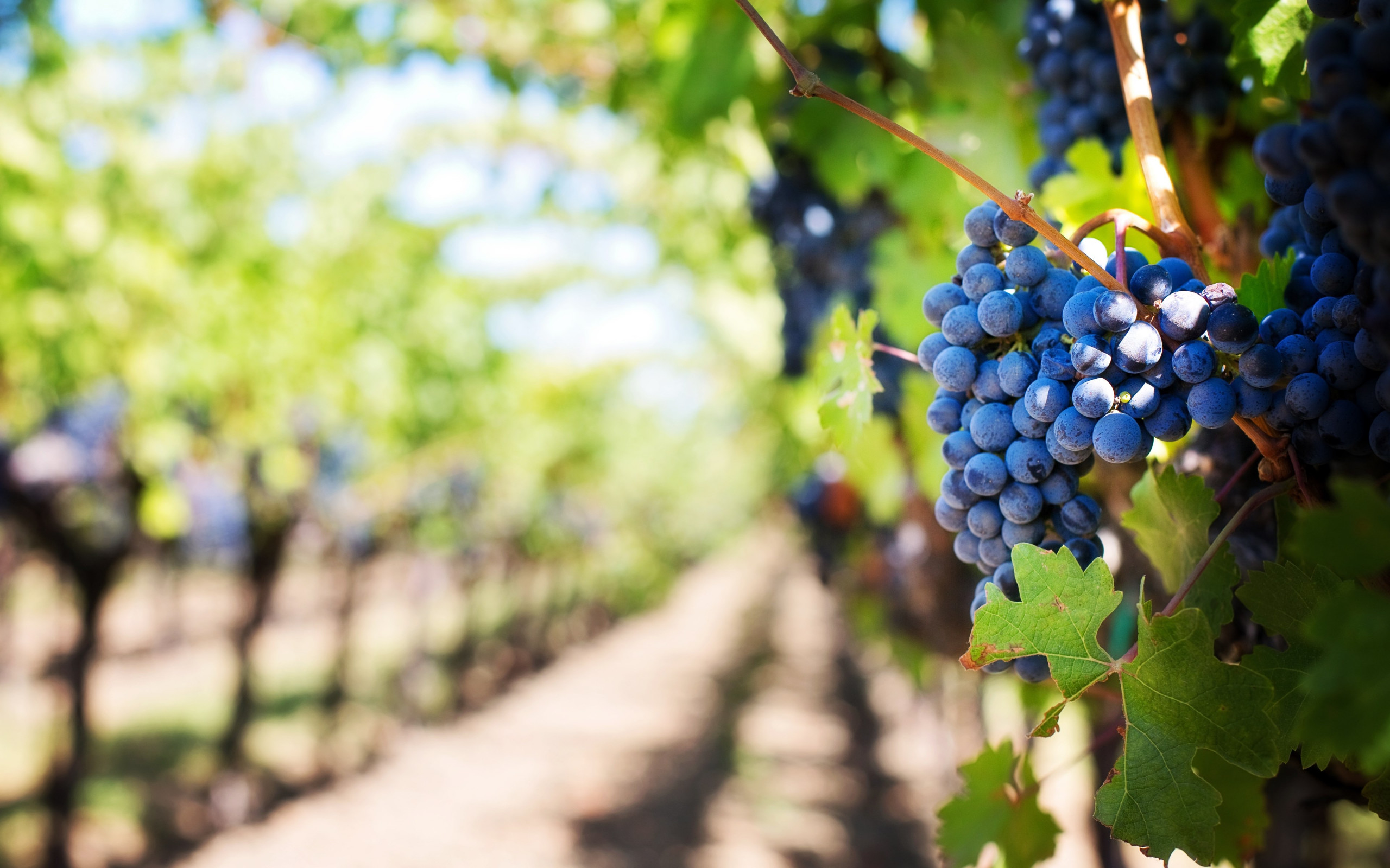 Grapes in vineyard wallpaper 2560x1600