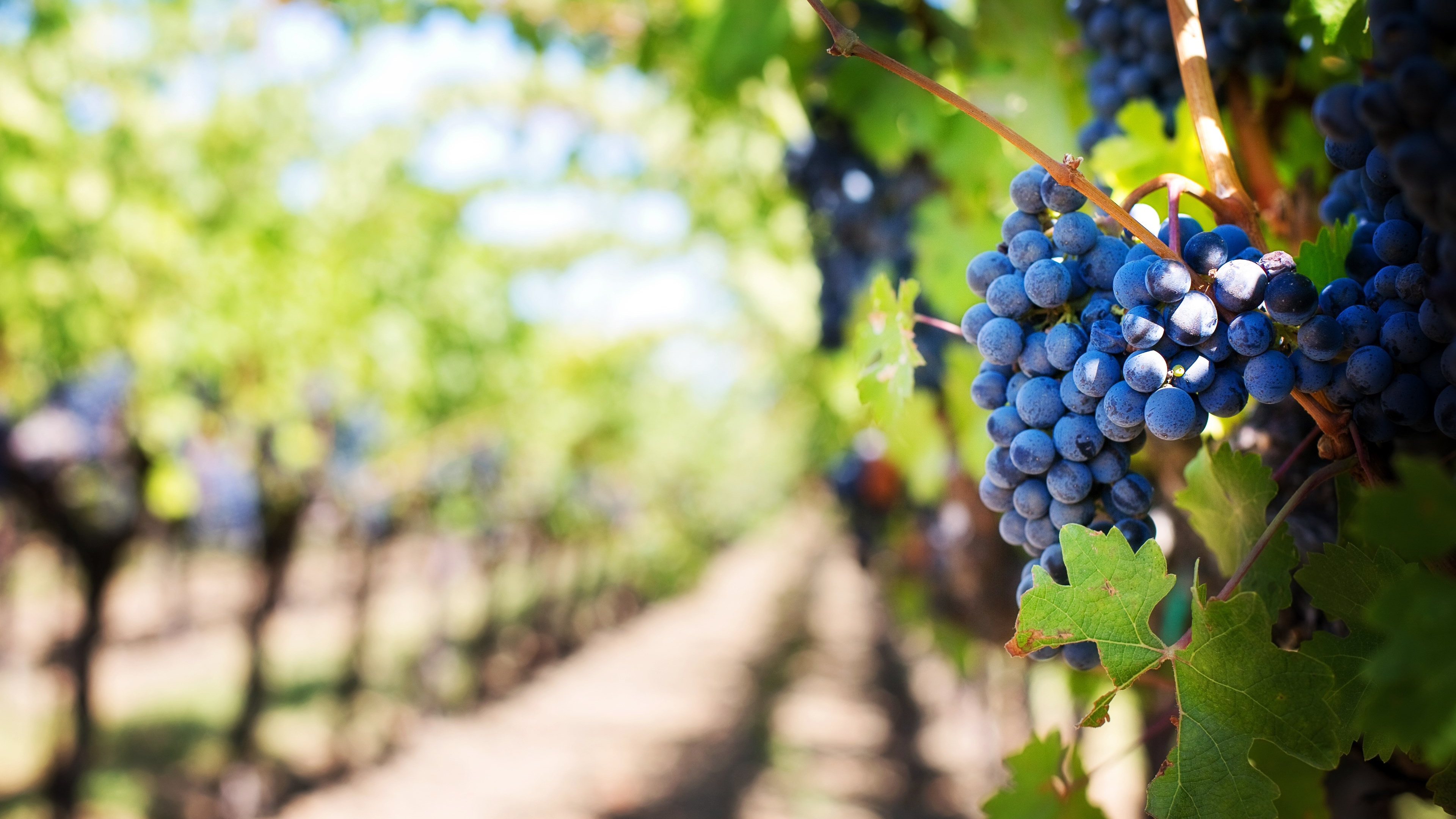 Grapes in vineyard | 3840x2160 wallpaper